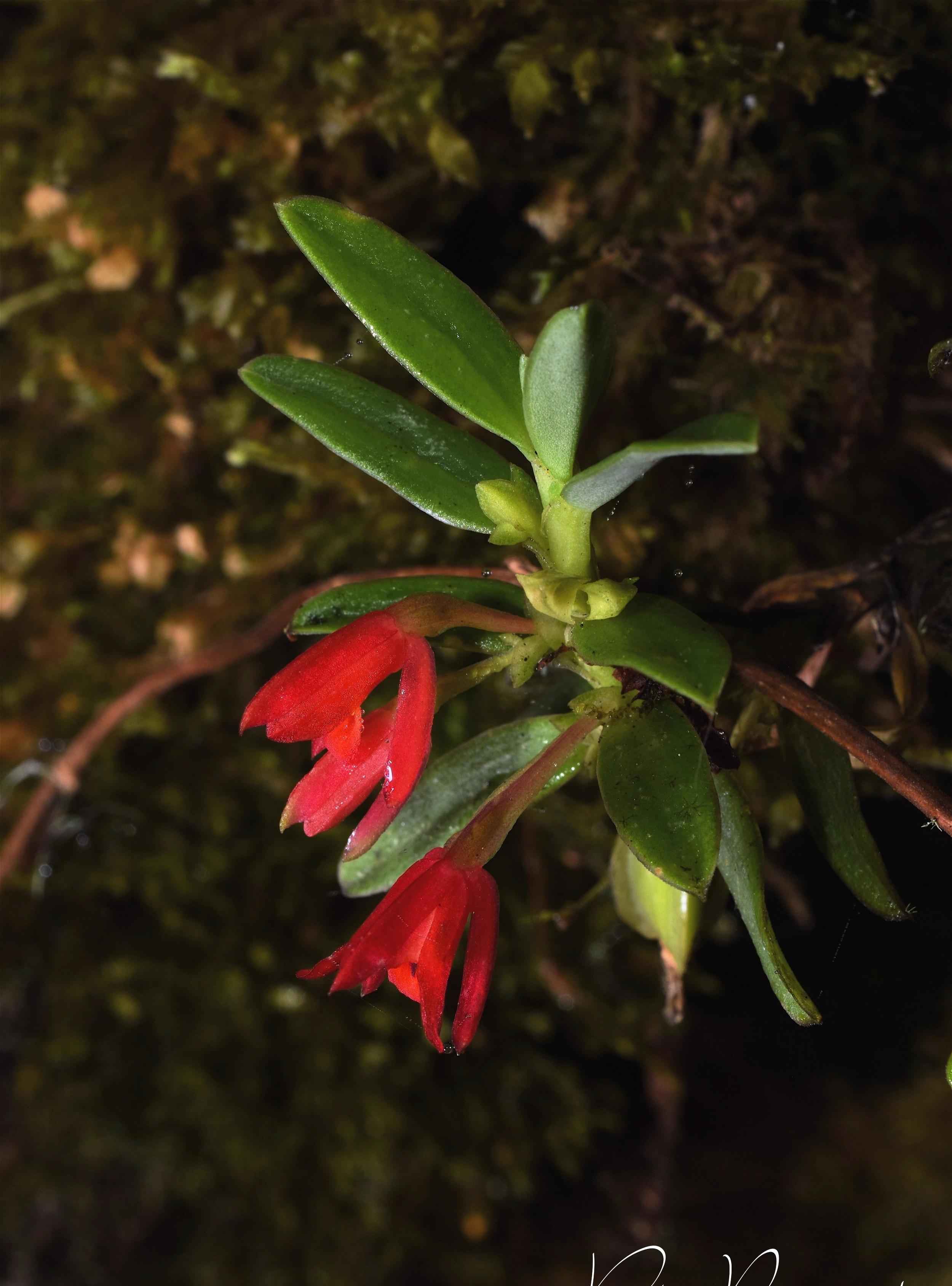 Fernandezia lanceolata