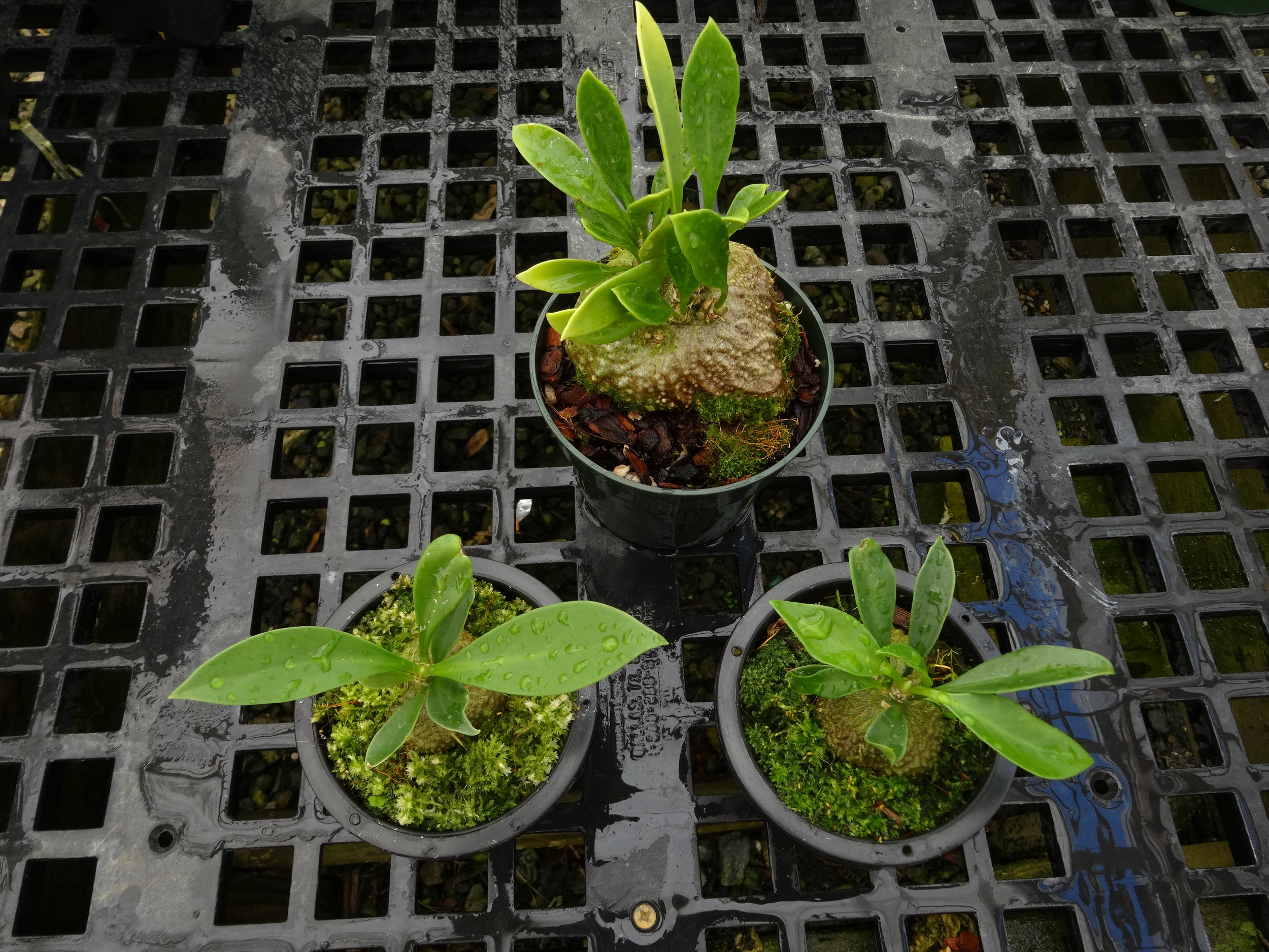 """Two young examples of the """"wet tropics"""" northern form growing in sphagnum moss in hanging baskets, compared to a two year-old intermediate form in pot with bark mix. California tropical greenhouse"""