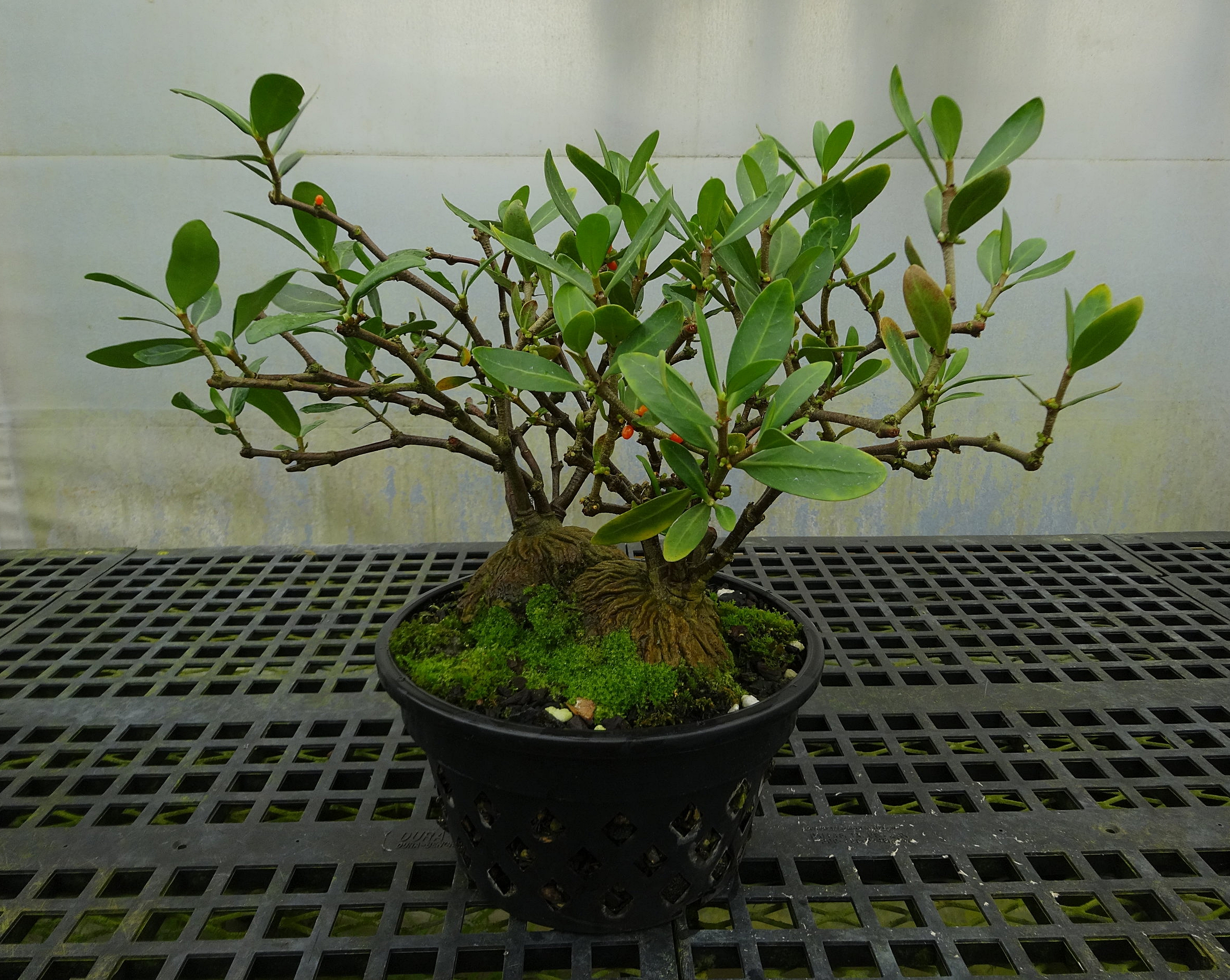 """Two adult, 12 year-old, seed grown and recently-pruned  Hydnophytum formicarum  from Luzon island, the Philippines, growing together in a 12""""/30 cm basket and cool greenhoused in California"""