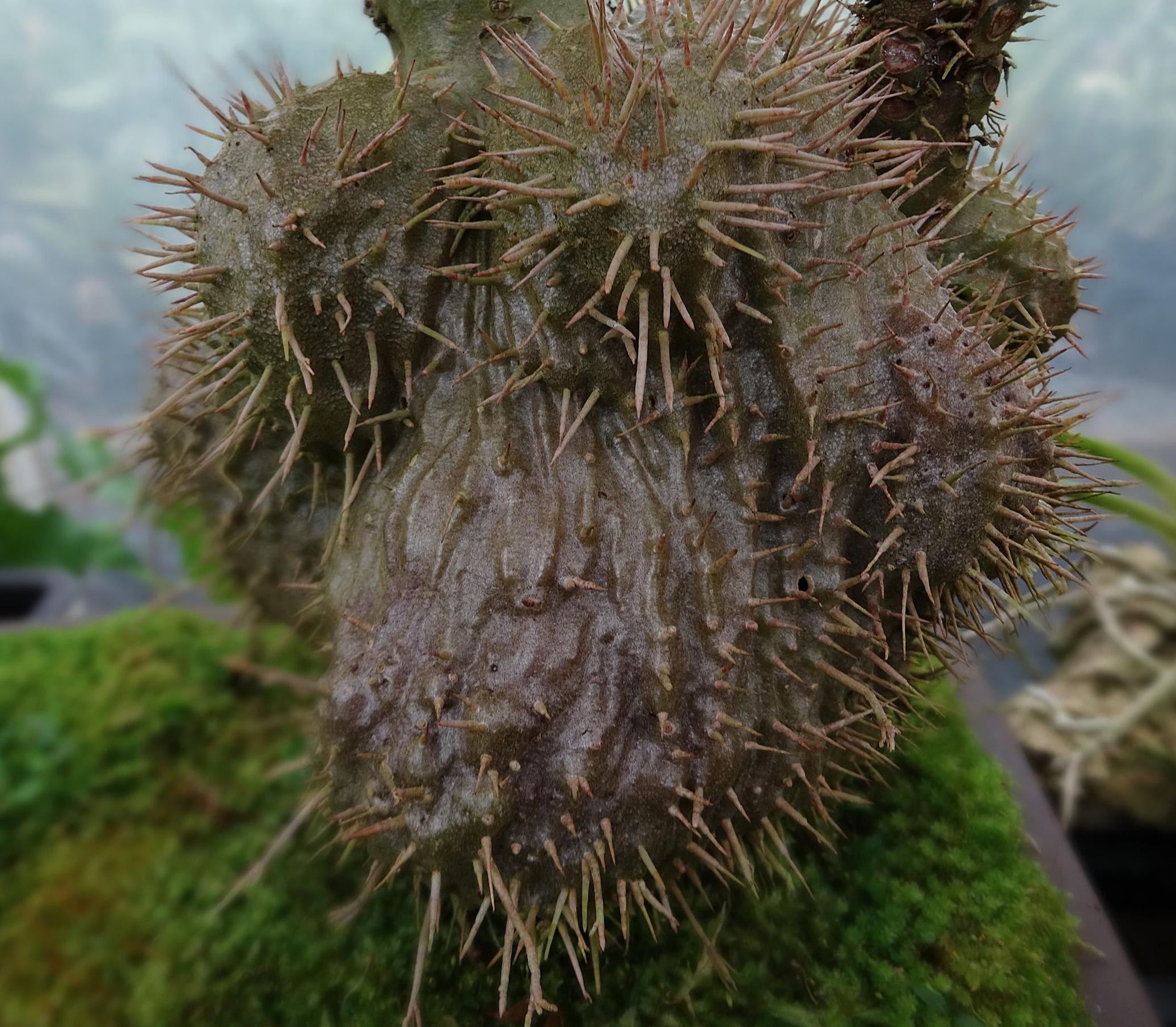 Caudex detail, young mature  Myrmecodia tuberosa sibuyanensis  from Luzon island, Philippines.