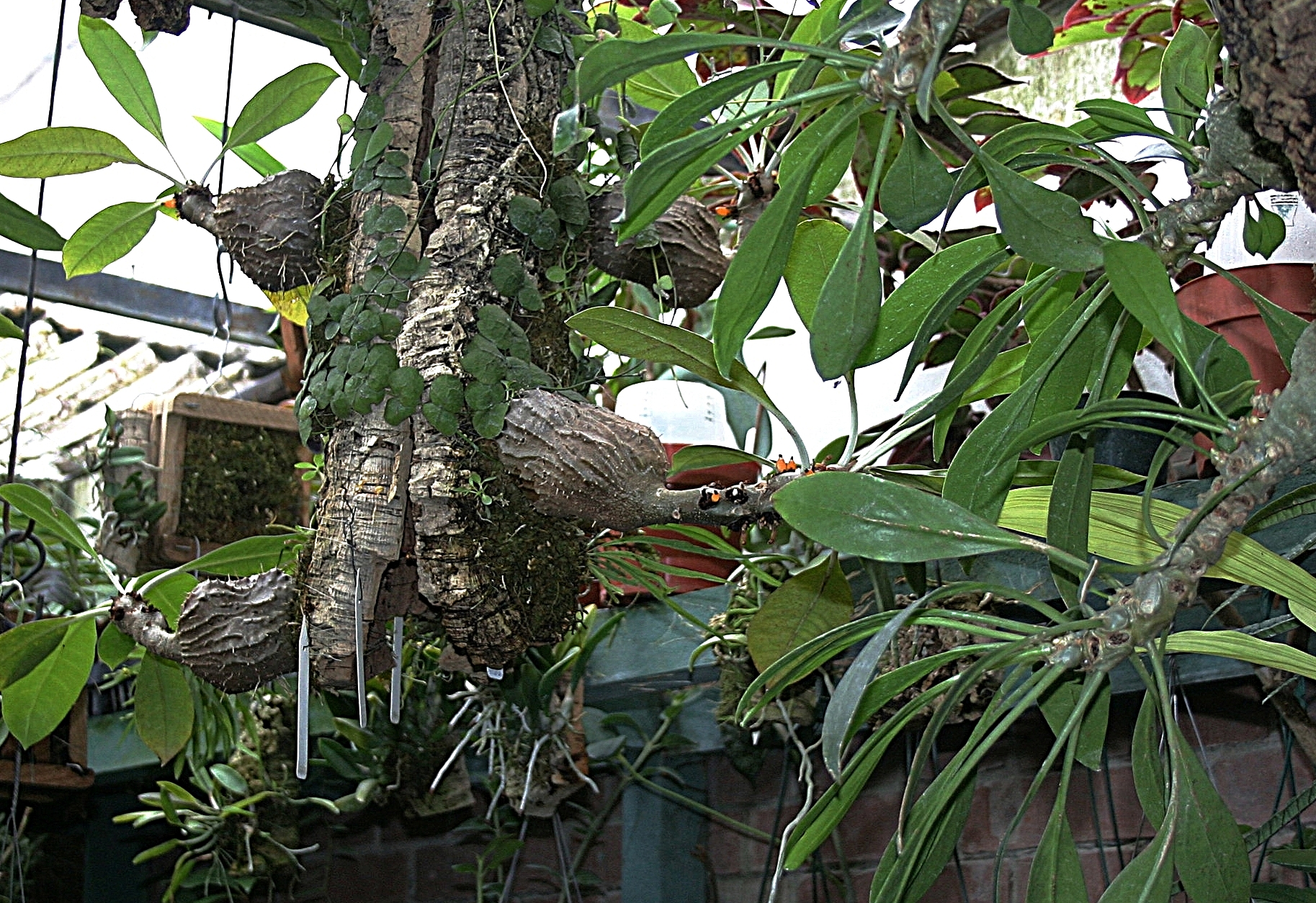 "Young mature examples of Tropiflora's forms of  Mymecodia tuberosa bracteata ,  M. tuberosa armata  and  M. beccari i ""Hull River' growing mounted on cork tubes in an indoor atrium in Guatemala, 2008."