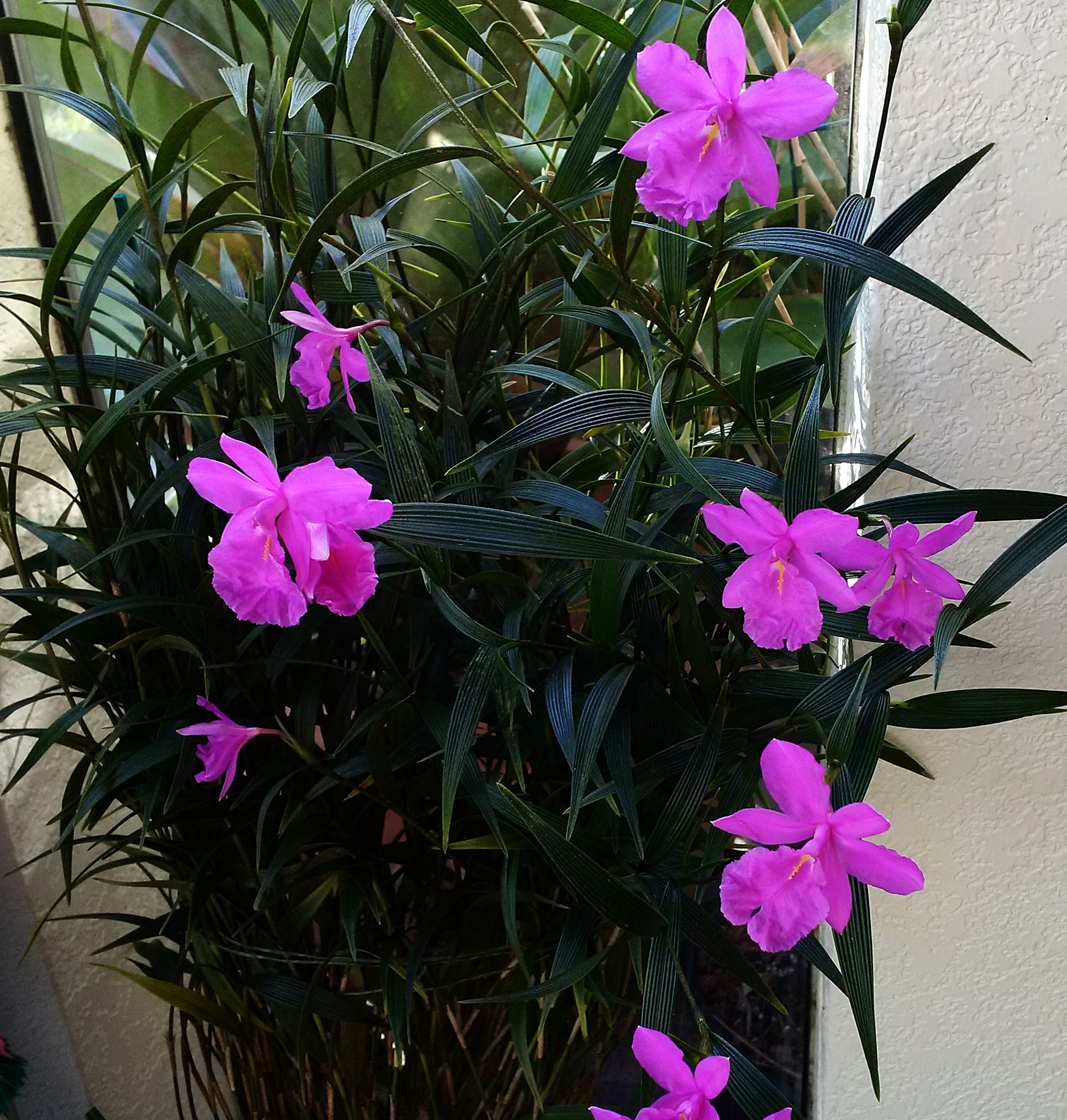 "Excellent ""tall"" form of  Sobralia callosa  grown as potted plant on windowsill"
