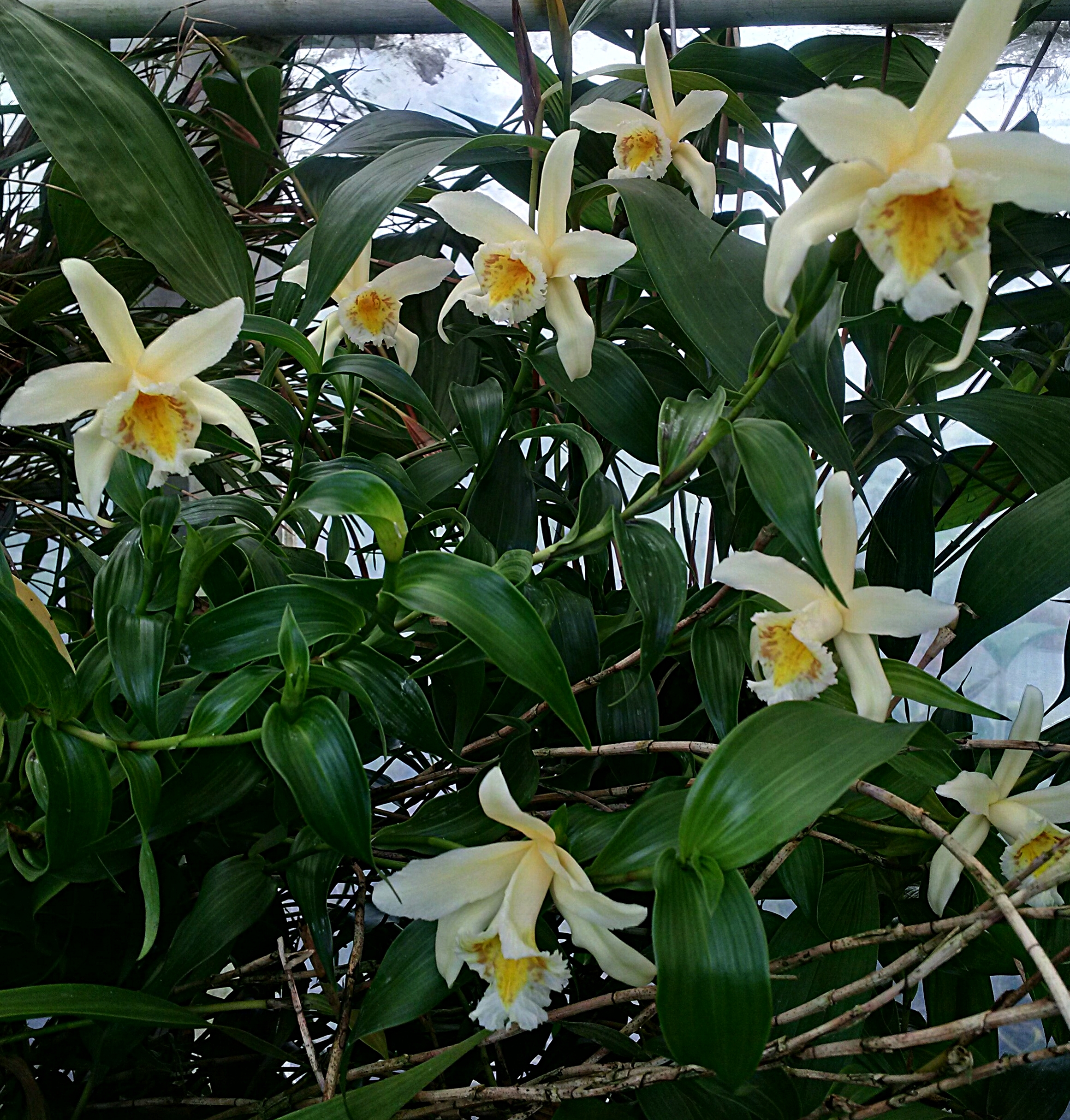 Sobralia crispissima , synchronous flowering, grower Bruce Rogers