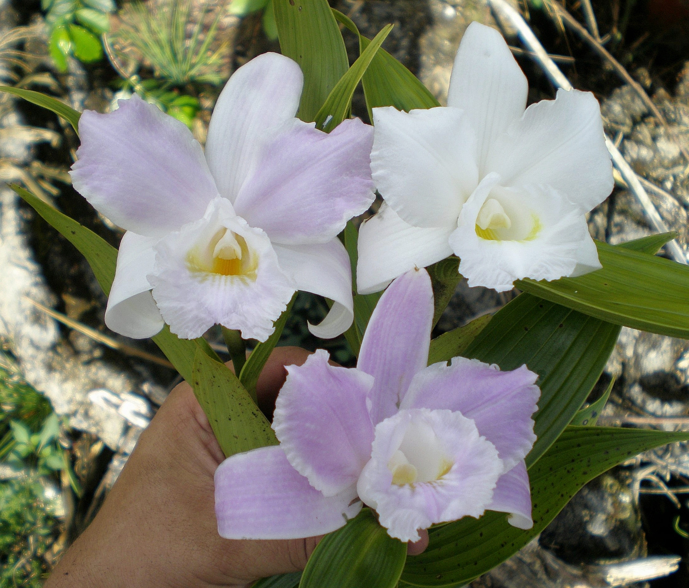 "A trio of beautiful examples of flowers from the same population of  Sobralia cobanensis , a central Guatemalan, ephemeral flowered endemic described in 1999. The lower flowering plant was identified by a visiting orchid taxonomist some years back as  S. warzcewiczii , while a local botanist considers all these plants to be examples of the different forms of  S. ""rosei"" , described in 2013. I share the view with some others in Guatemala familiar with the plant that  S. cobanensis  is a narrowly-distributed species with very variable flower color, sometimes splash-petaled (see elsewhere on this site), occasionally pure white. Its variability demonstrates the risks of describing new  Sobralia  species from single specimens or by flower color alone. Image: Edgar Mó"