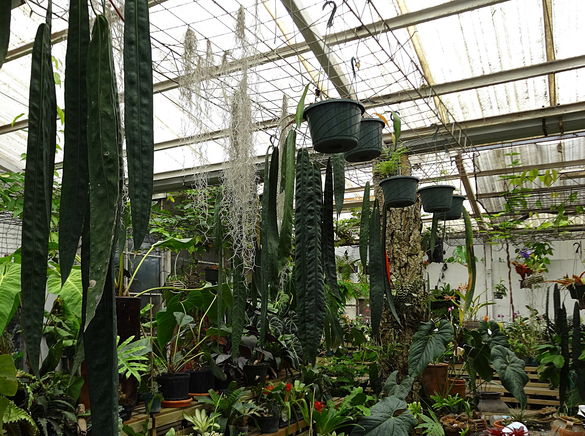 """A collection of eight year-old, flowering-sized F1  Anthurium wendlingeri  grown in 8""""/30 cm hanging plastic pots in a private collection at Orquídeas S y M in Guatemala City, Guatemala. These are offspring of plants shown above. Note exceptional leaf form of middle plant."""