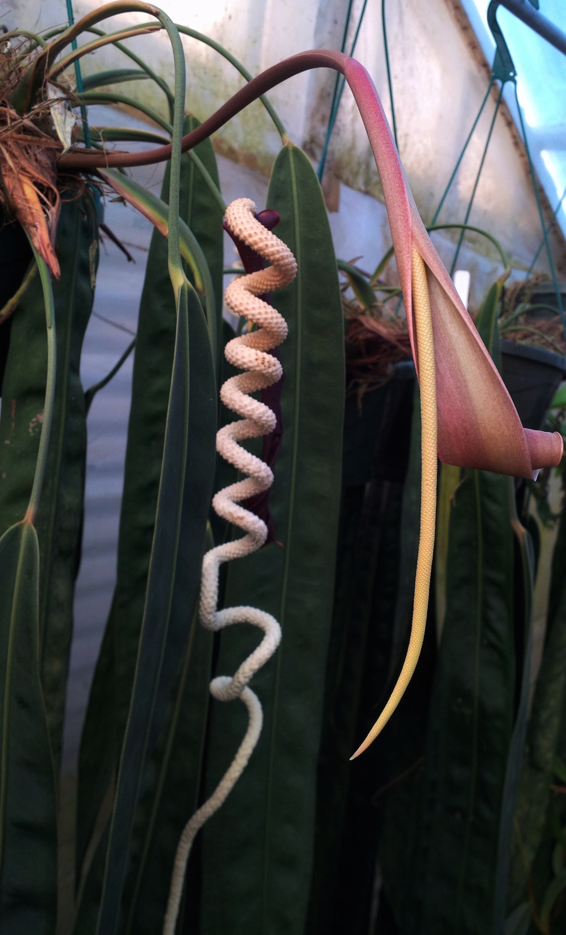 Two developing spadices on a mature  Anthurium wendlingeri  in cultivation in California.