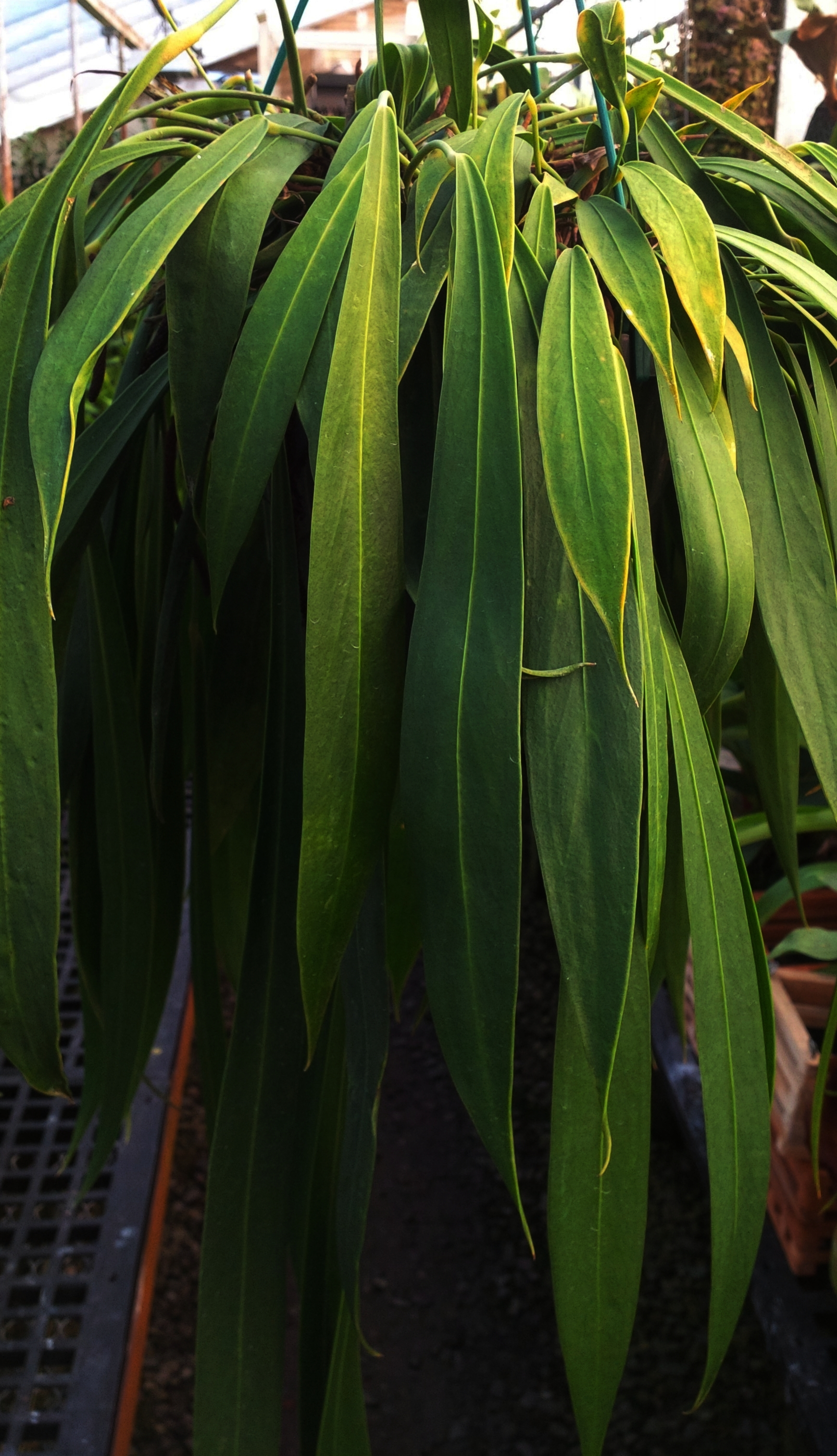 Mature  Anthurium pendens  from lowlands of Colón Province, Panamá in cultivation in California.