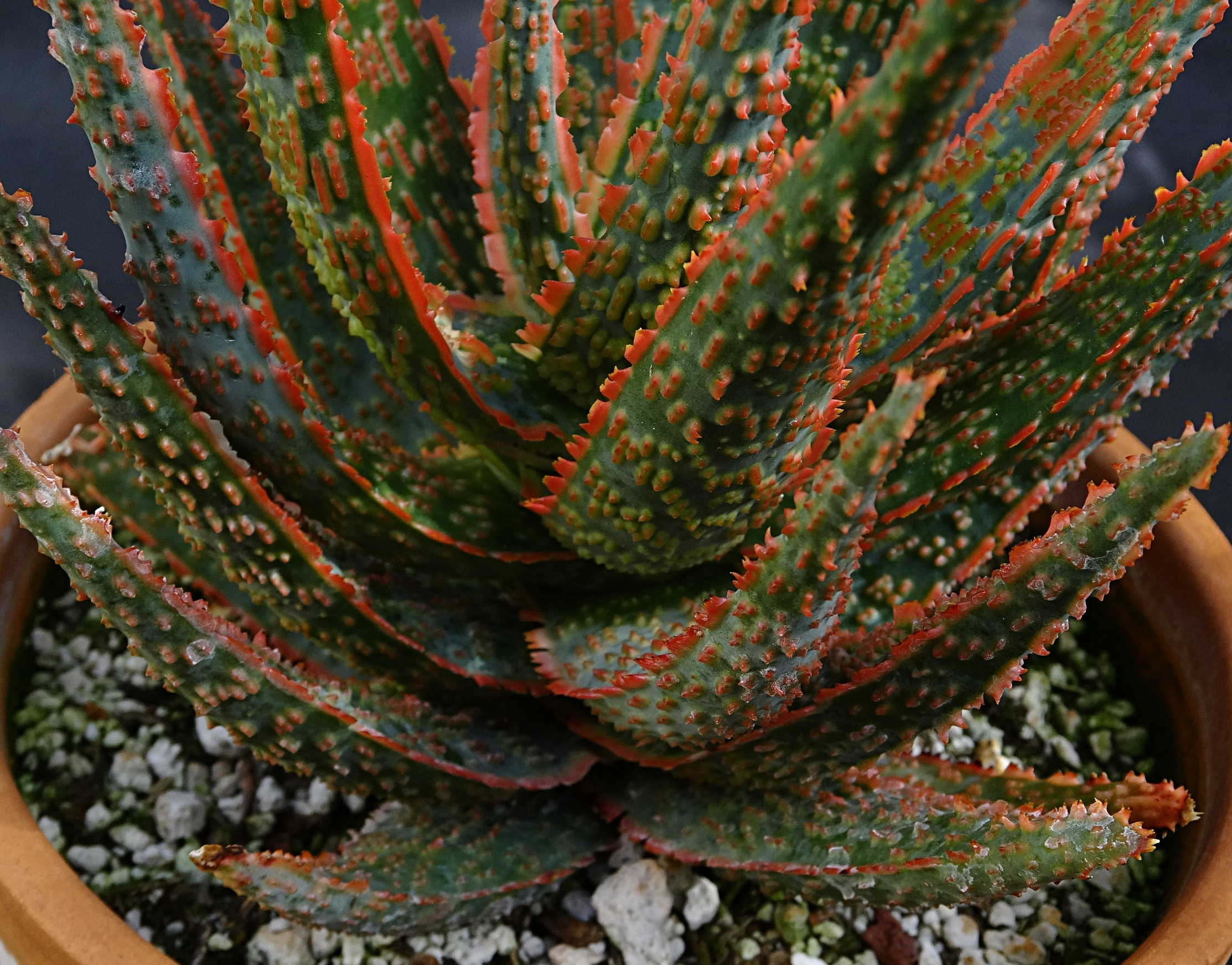 Aloe  cv. 'DZ' showing good rosette structure and basal leaf retention at several years of age.