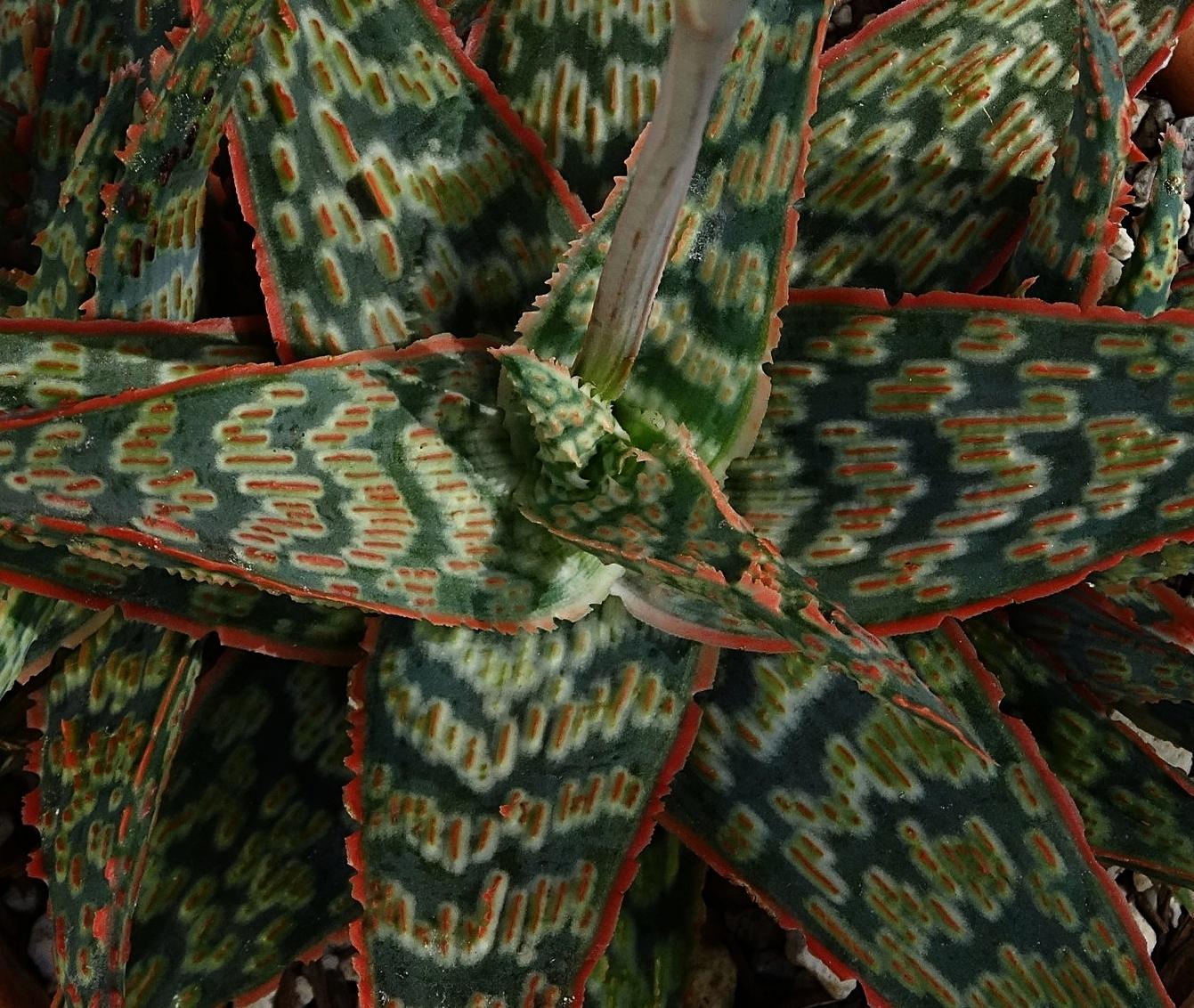 Flowering  Aloe  cv. 'Wrasse' (green form)