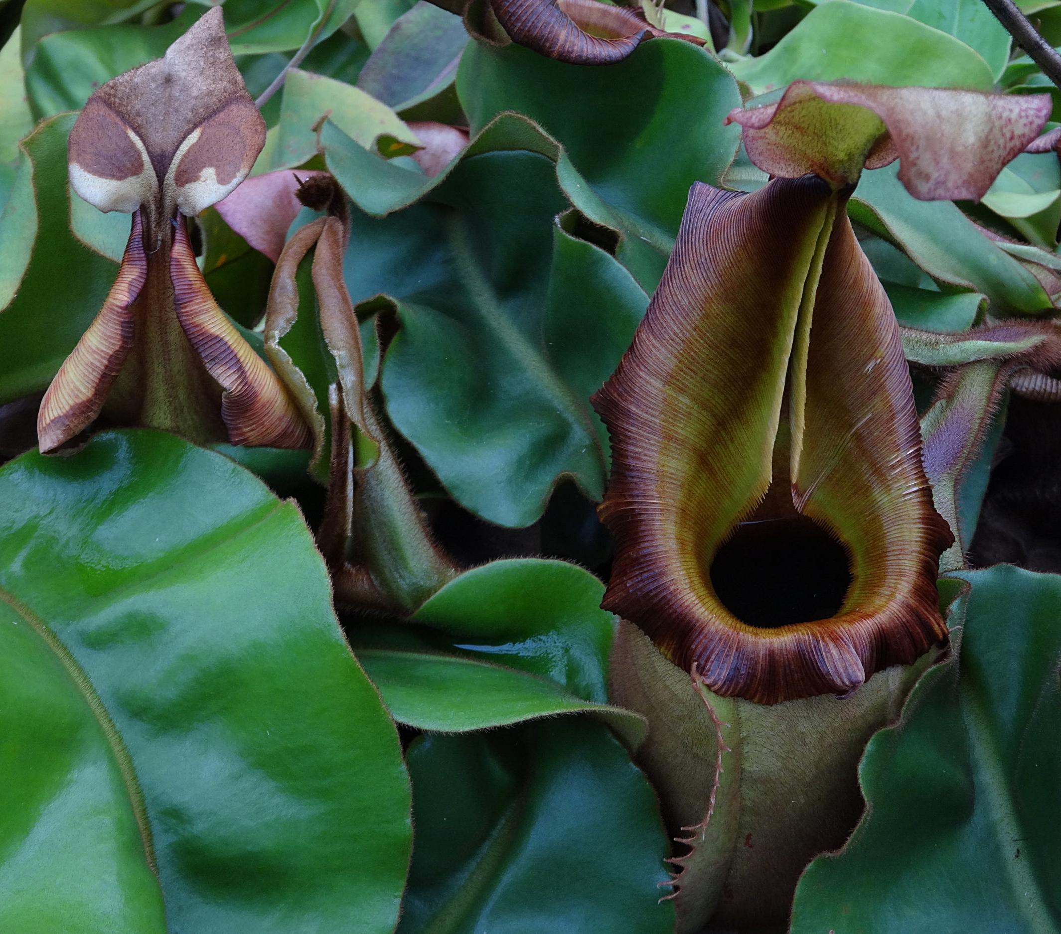 Nepenthes veitchii Bario, Sarawak ecotype, normal peristome form. Grown by Josh Brown of Predatory Plants.