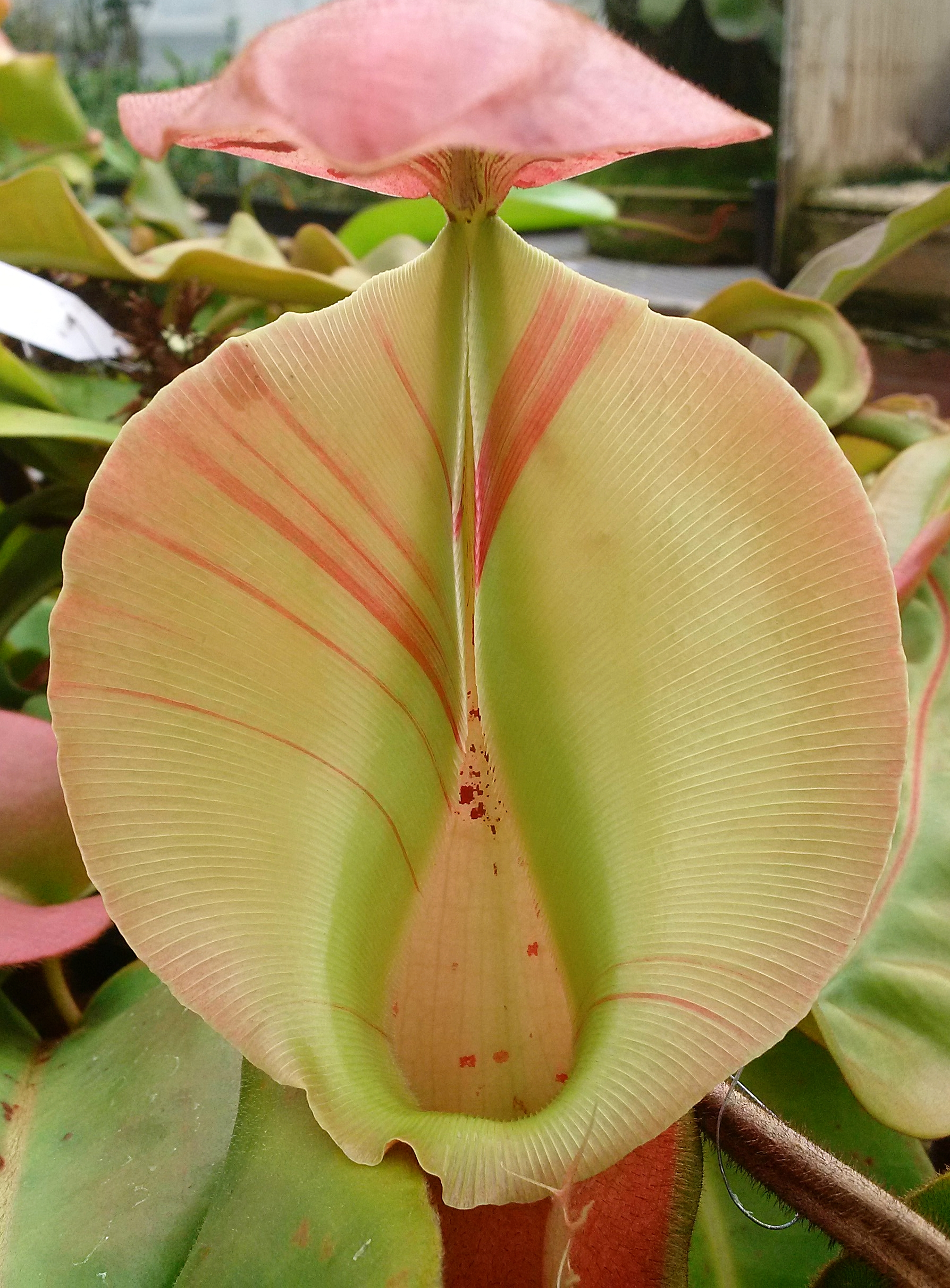 """Nepenthes veitchii, epiphytic form, """"pink peristome"""". This particular clone shows exceptionally high color when opening, but loses its bright colors as the pitchers age. Grown by Josh Brown of Predatory Plants."""