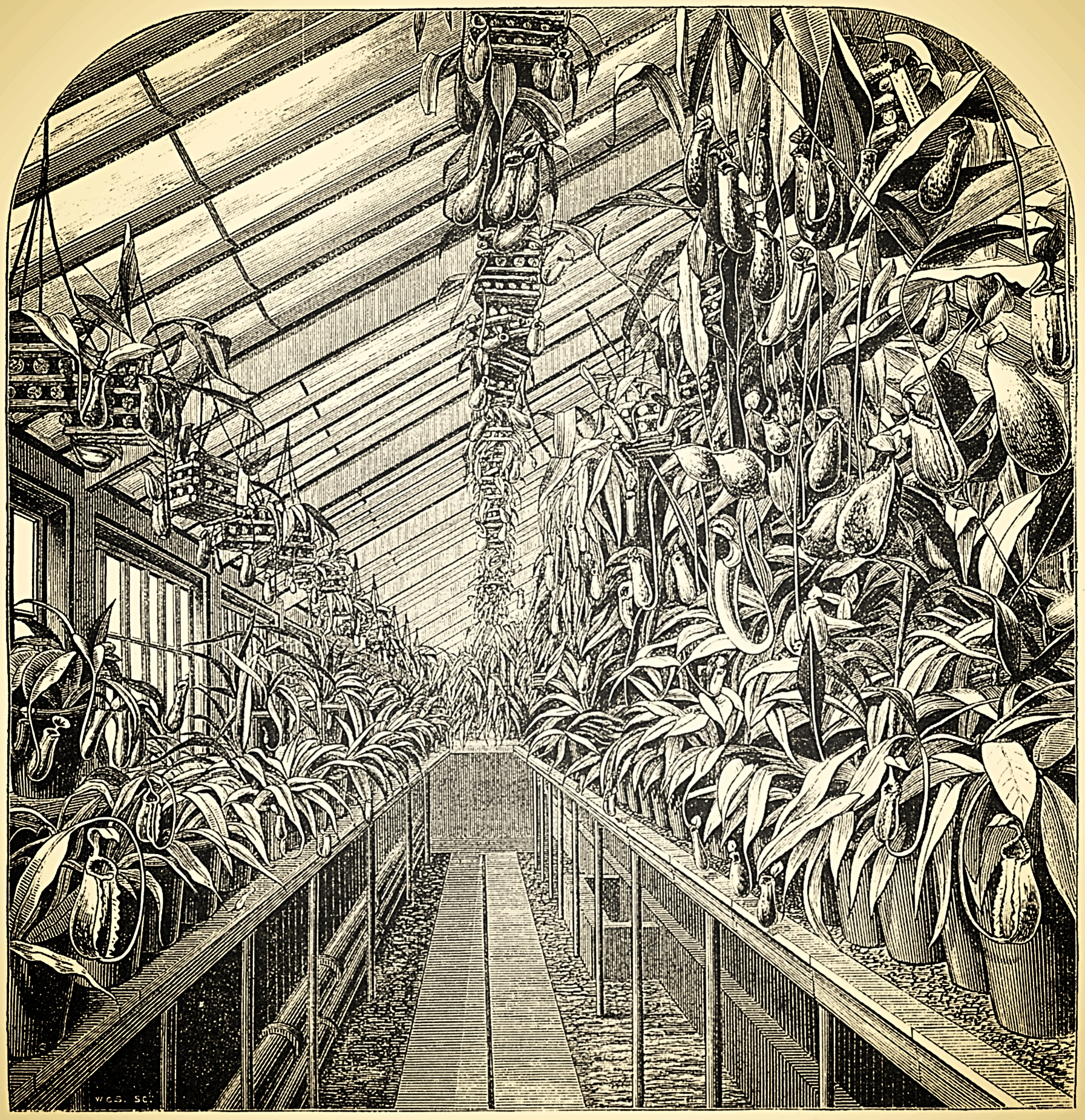 """Engraving of the James Veitch & Sons' Nepenthes House in the late 19th century (Moore, """"The Gardeners' Chronicle"""", March 1872)"""