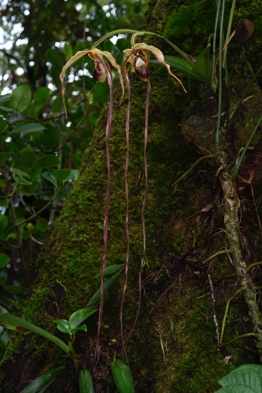"Looking like an enchanted creature from a fairy-tale, a very nice flowering  Phragmipedium humboldtii  with >30""/75 cm petals growing as an epiphyte on a mossed buttress   in cloud forest, Baja Verapaz Department, Guatemala. Other unflowered plants are visible on lower left edge (Image: F. Muller)."