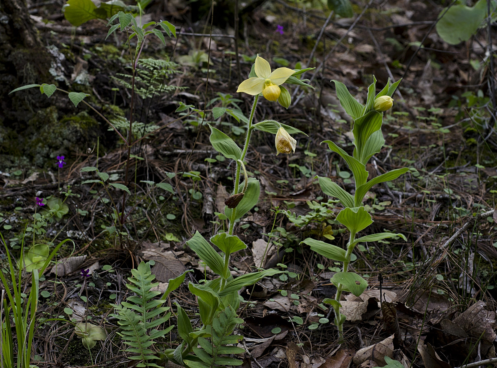 Cypripedium molle  plants in Oaxacan pine-oak association, together with flowering  Pinguicula moranensis var. neovolcanica ( Image: F. Muller).