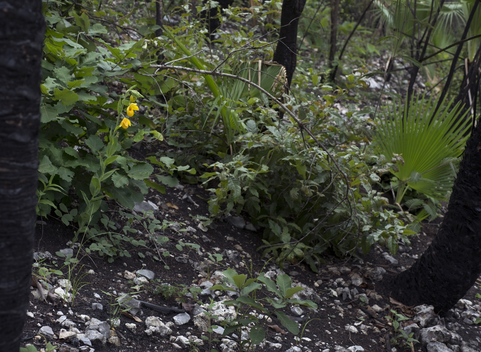 Cypripedium  x  fred-muller i emerging after a recent burn in mixed oak-suyate palm ( Brahea dulcis ) forest, Alta Verapaz Department, Guatemala (Image: F. Muller).