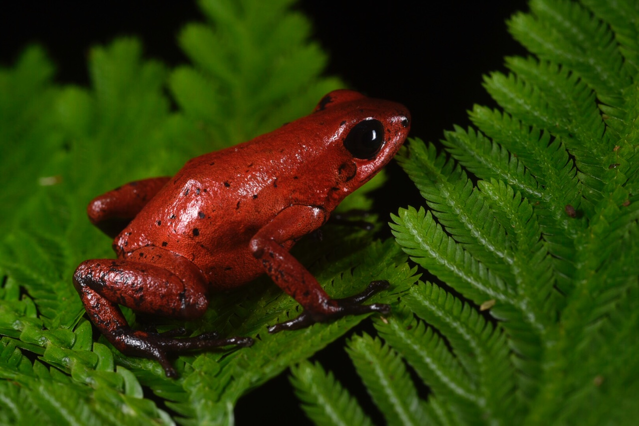 Oophaga pumilio , red morph, Limón Province, Costa Rica (Image: F. Muller).