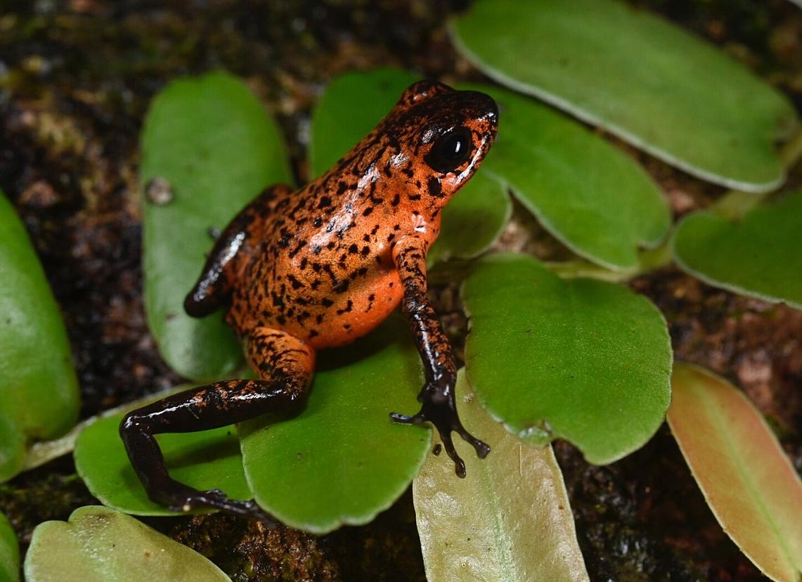 Oophaga pumilio , dusky orange morph, Limón Province, Costa Rica (Image: F. Muller).