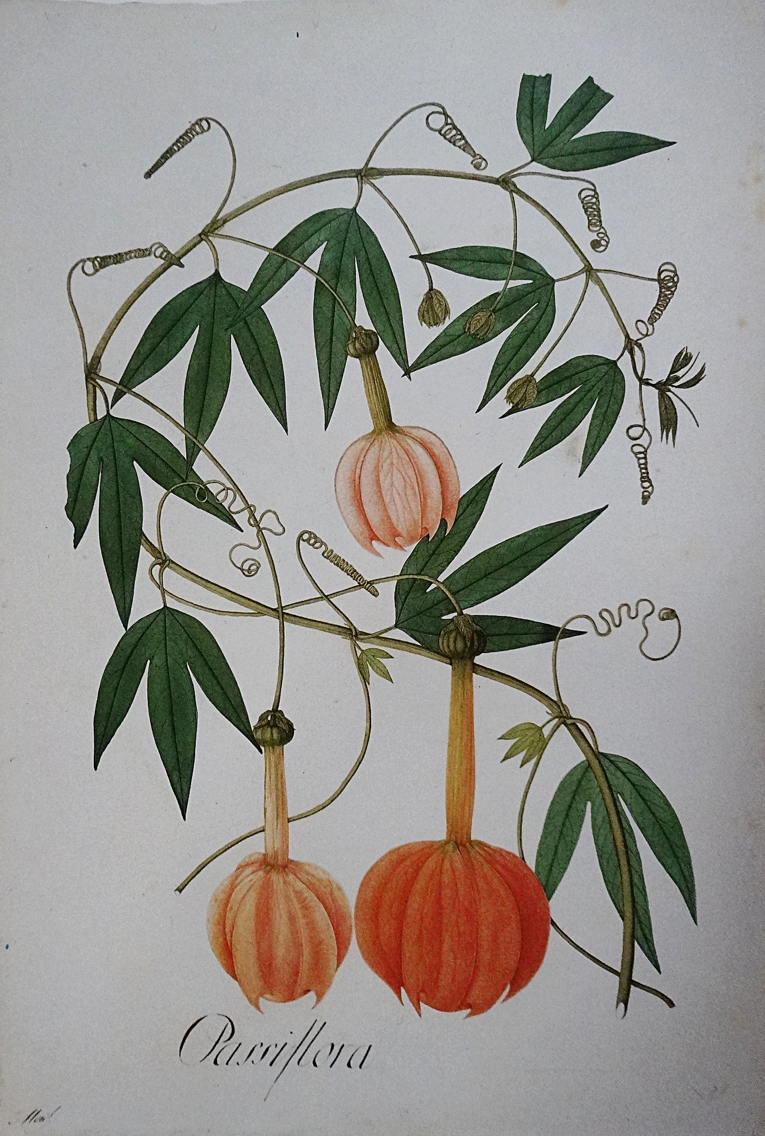 Passiflora parritae  by F. X. Matis (Image:  Archivo Real Jardín Botánico , Madrid, Spain).