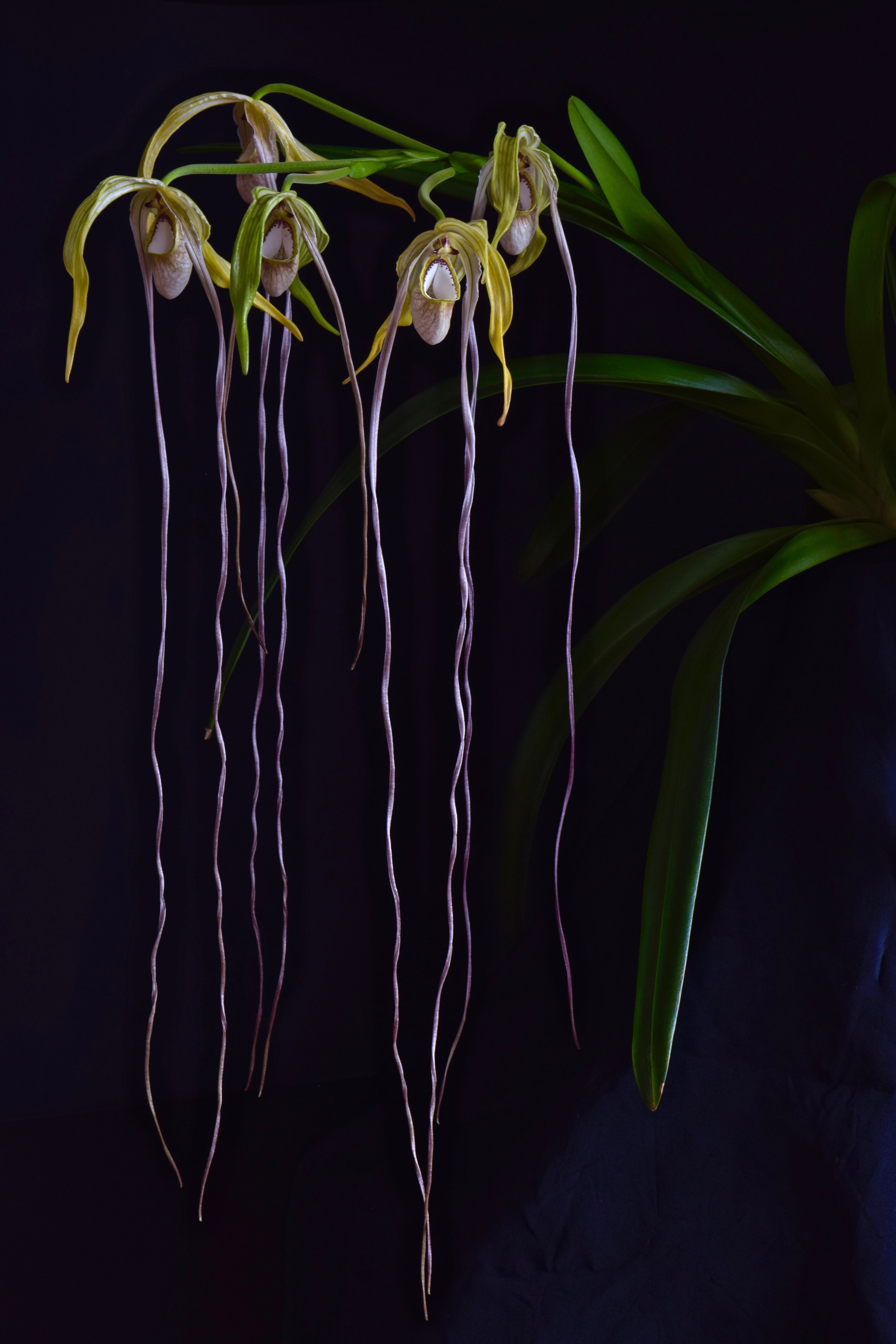 A well-flowered cultivated Colombian  Phragmipedium warscewiczianum , formerly  P. wallisii  in horticulture (Grower and image: P. Rockstroh).