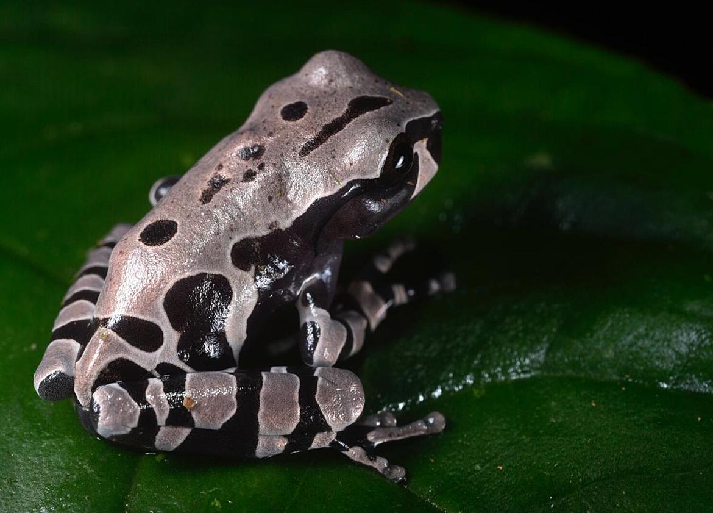 Juvenile spiny-headed treefrog ( Anotheca spinosa ), Limón province, Costa Rica (Image: F. Muller).