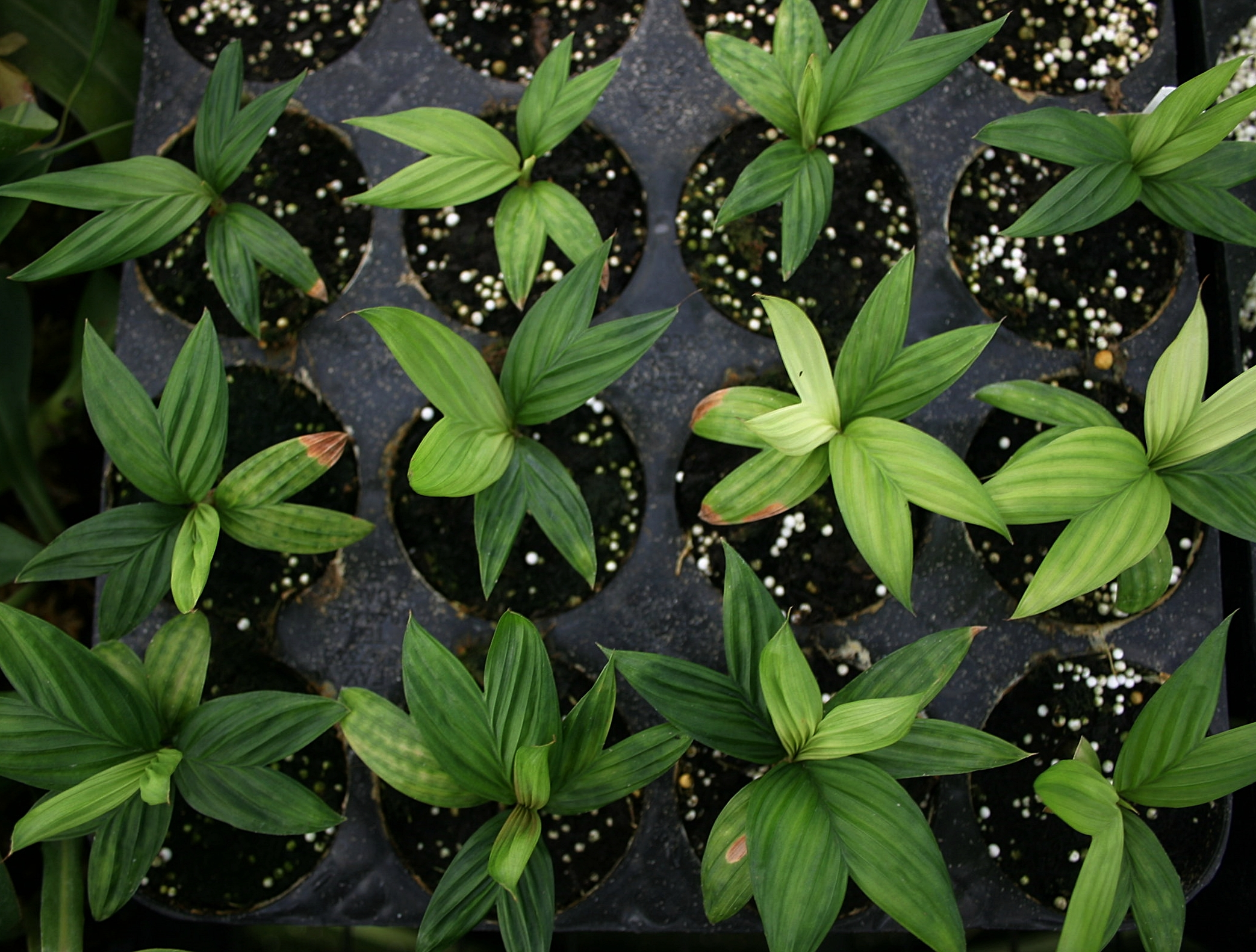 Eighteen month-old F1  Geonoma epetiolata  seedlings growing in soil-less media, Guatemala.