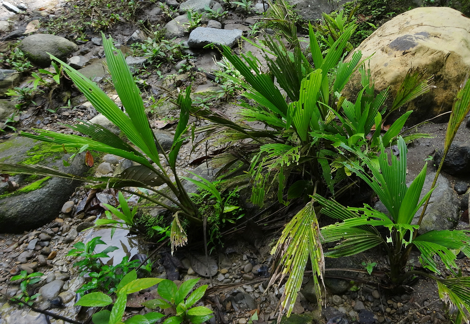 Even fairly robust rheophytes can get thrashed by flooding as a result of severe tropical storms. A streamside colony of an otherwise nice-looking, smallish  Dicranopygium sp . in tatters following a series of violent summer and fall storms along the Caribbean coast of Costa Rica in 2018. Plants located closer to the center of the stream at this site were completely stripped of their leaves.
