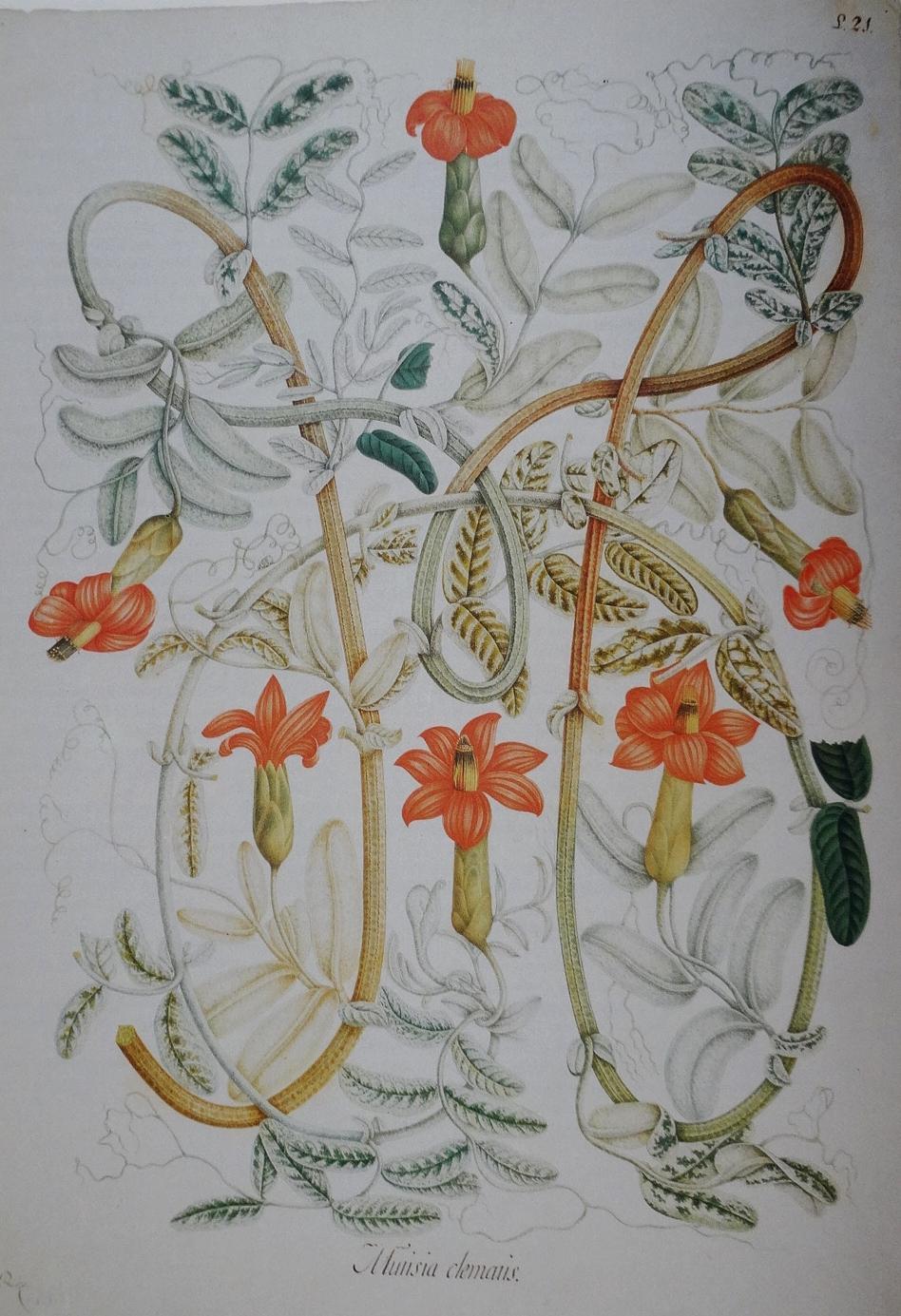 """Mutisia clematis  by Salvador Rizo shown in """"La Real Expedición Botánica del Nuevo Reyno de Granada""""."""