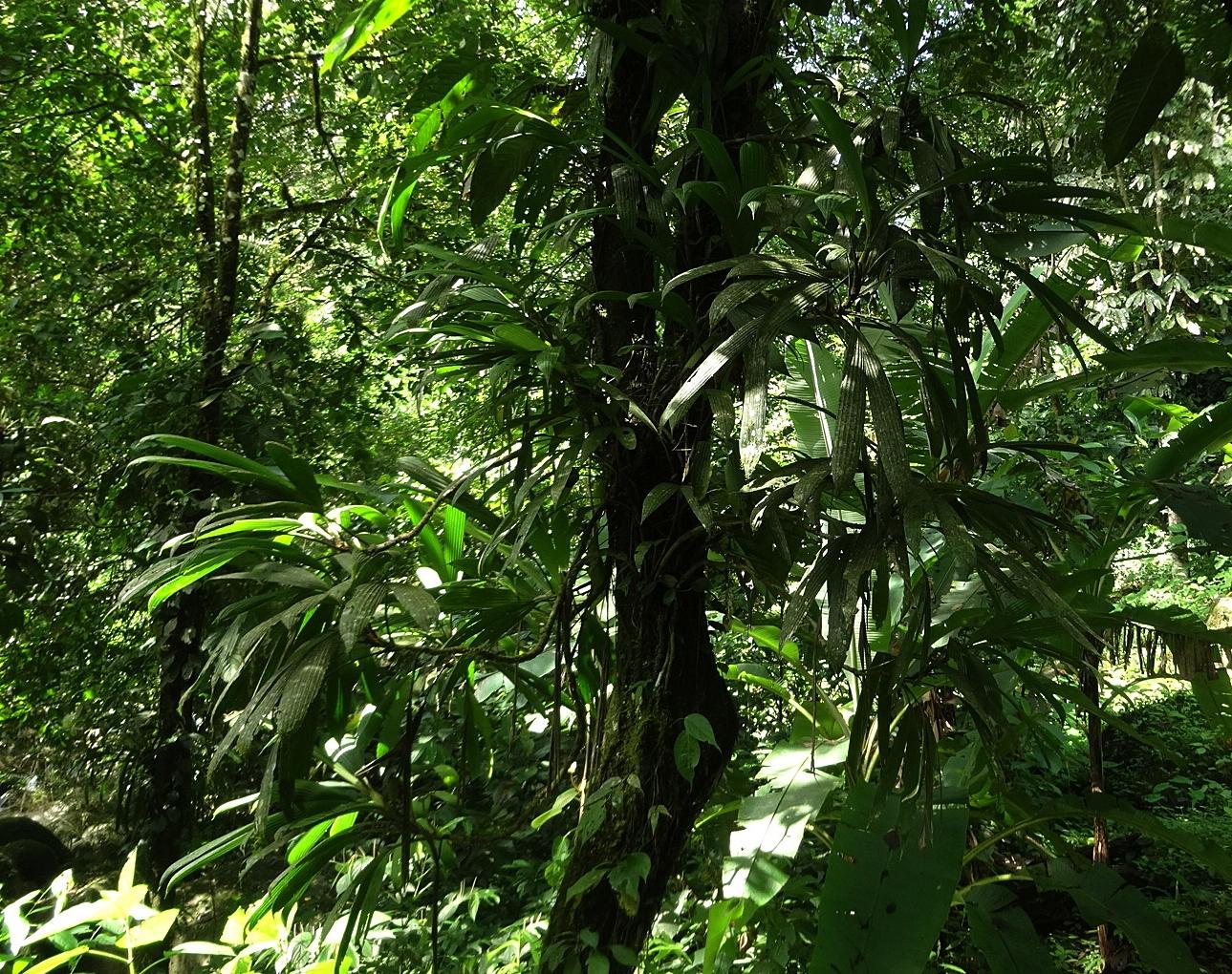 Thoracocarpus bissectus , lowland tropical rain forest, Panamá.