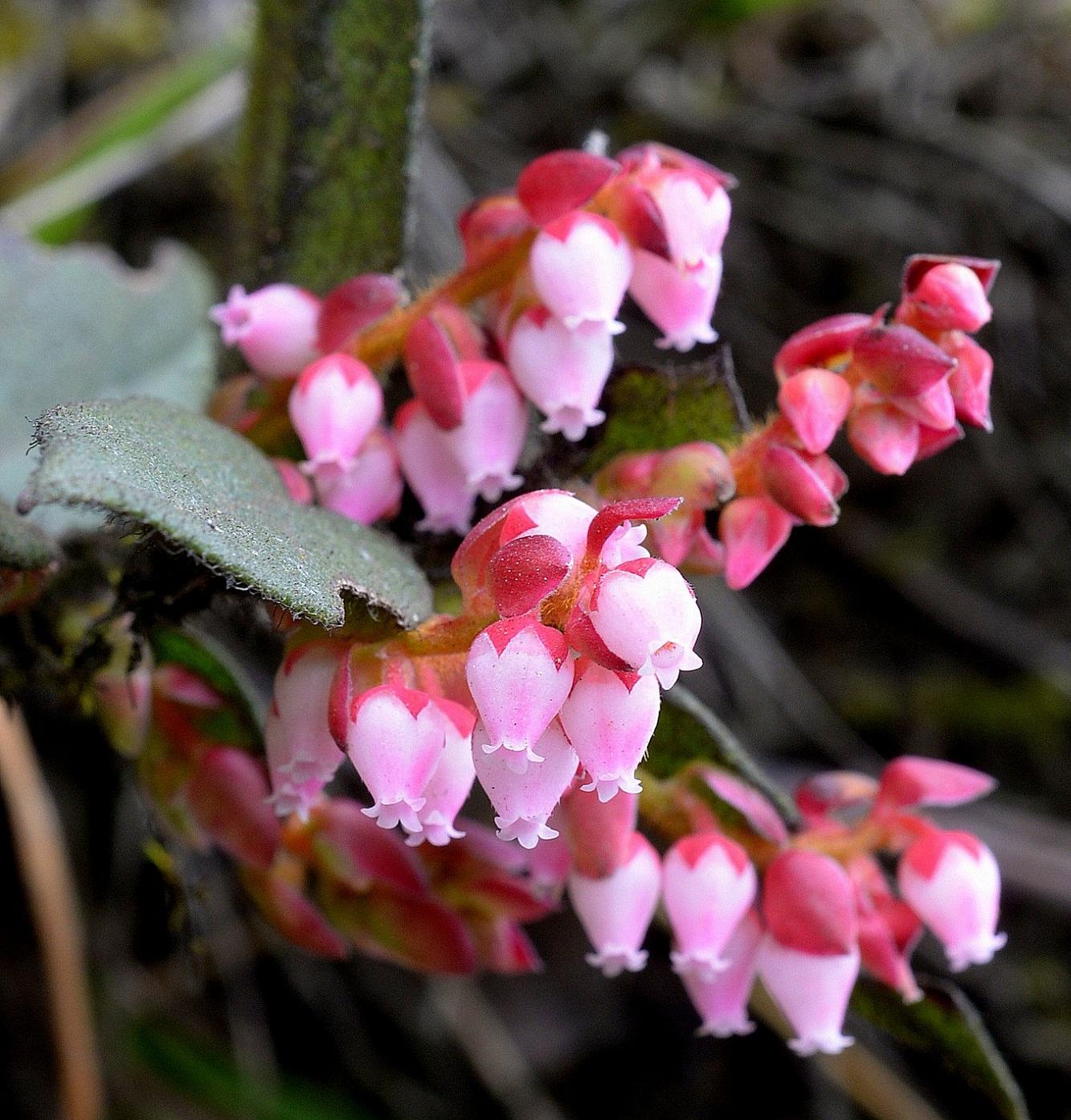 Flowering Andean wintergreen,  Gaultheria erecta , Ecuador (Image: R. Parsons).