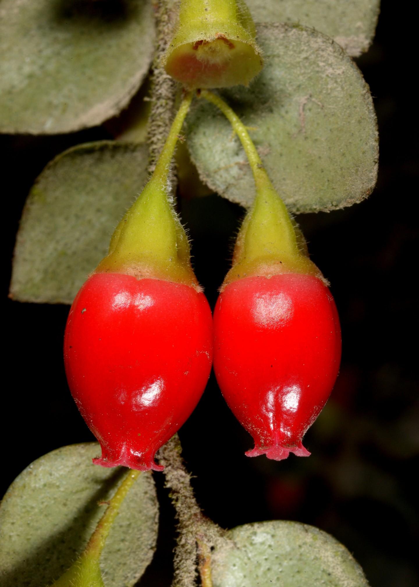 Sphyrospermum sp. Ecuador.jpg