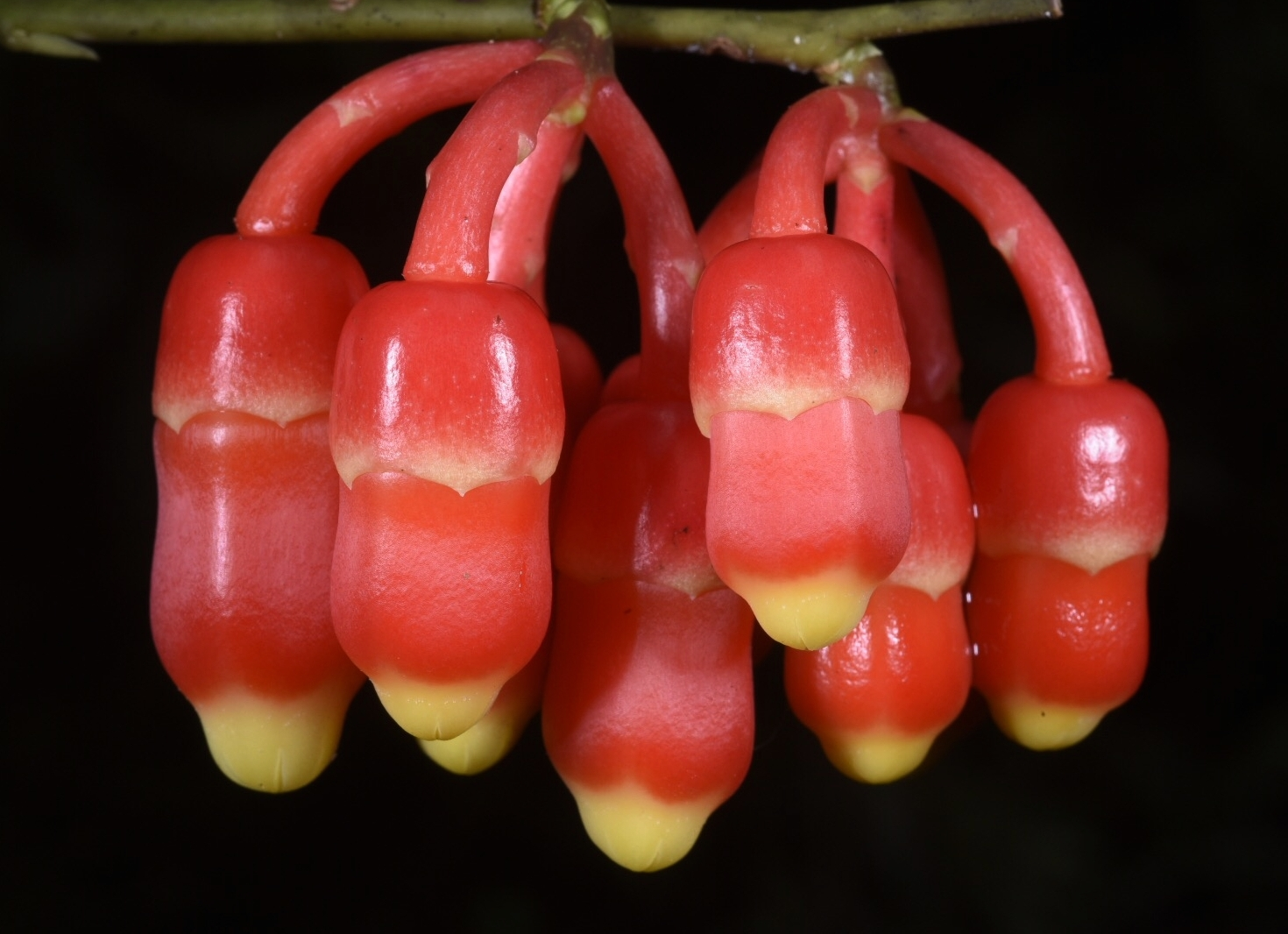 Psammisia williamsi  immature flowers. Fortuna, Chiriquí Province, Panamá (Image: F. Muller).