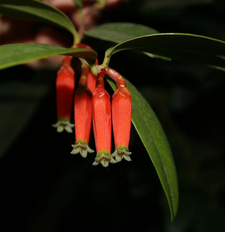 Macleania epiphytica detail.jpg