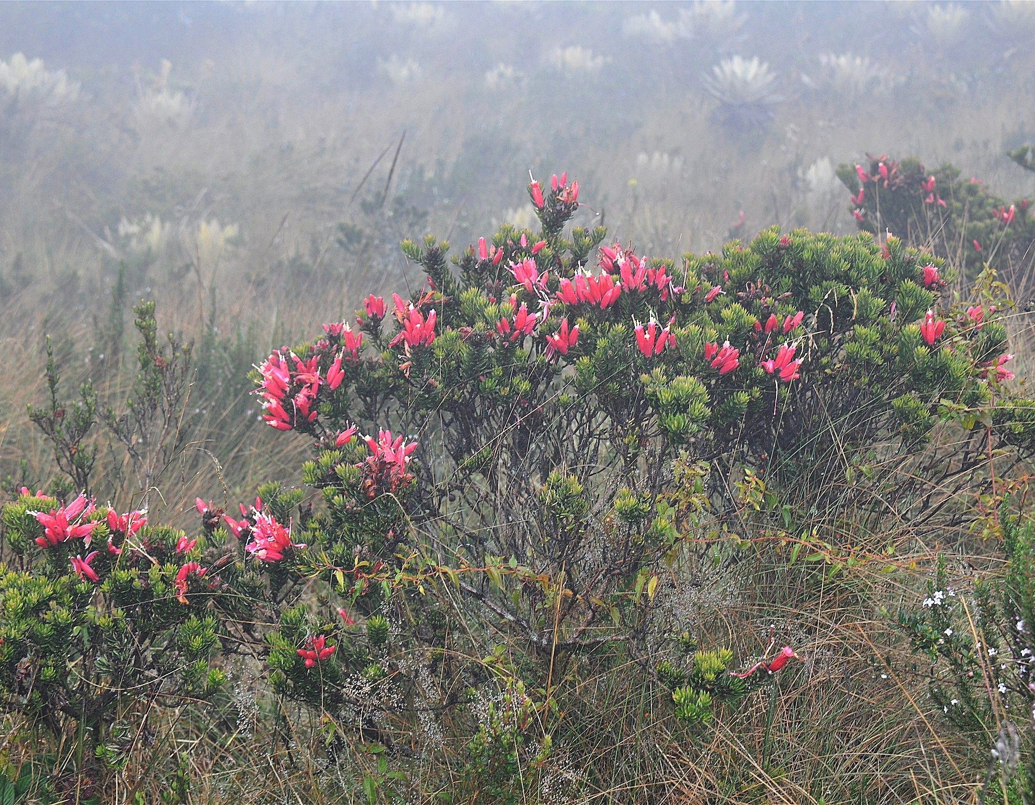 Bejaria resinosa  flowering in misty páramo near Bogotá, Colombia with frailejones ( Espeletia sp. ) ghosting in the background (Image: P. Rockstroh).