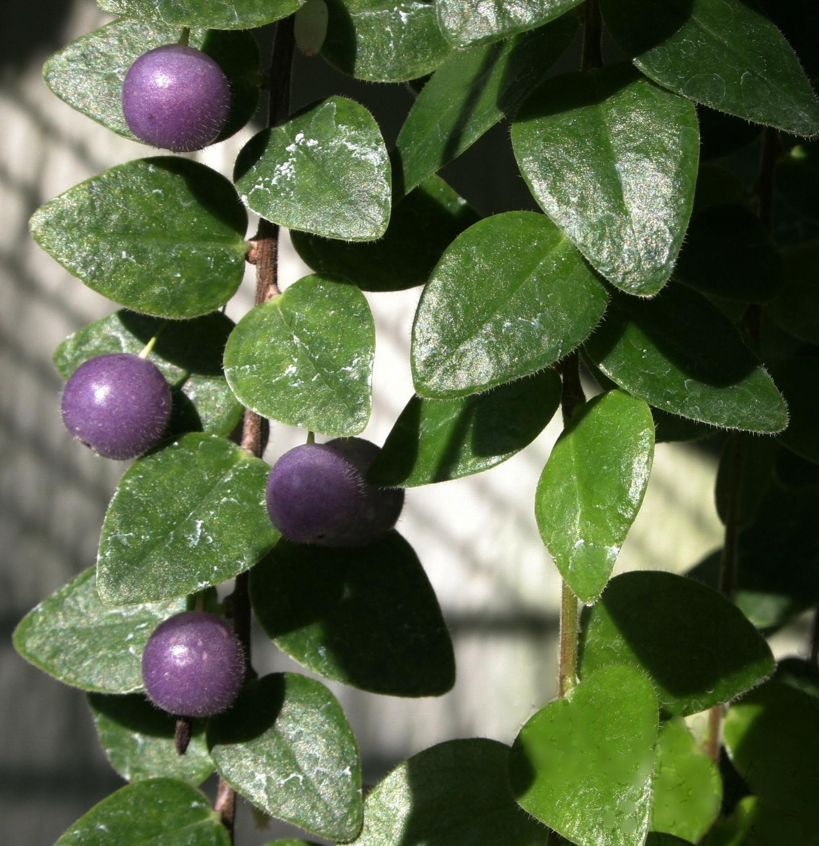 Sphyrospermum buxifolium.JPG