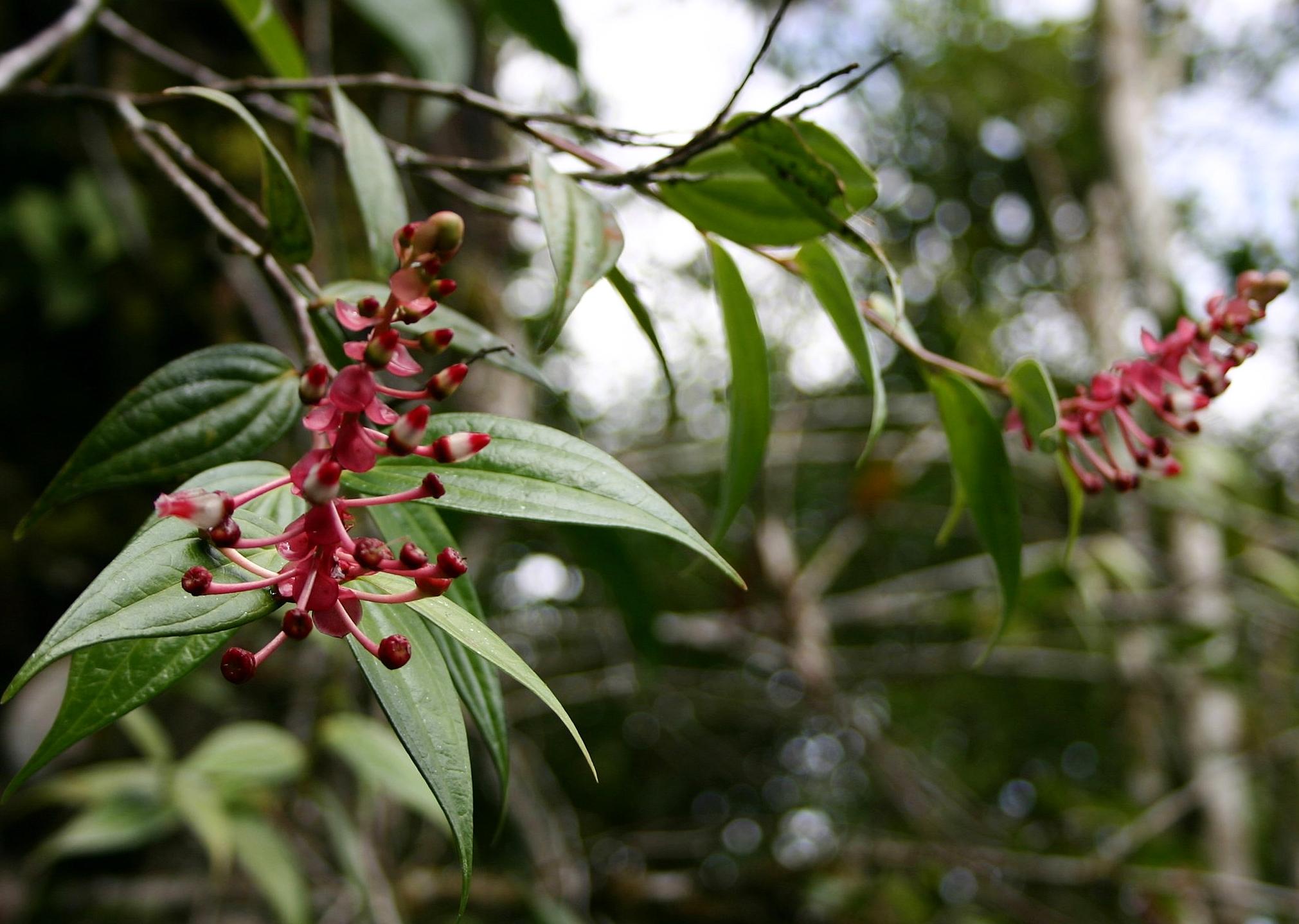 Cavendishia bracteata , San Pedro Carchá, Alta Verapaz Department, Guatemala.