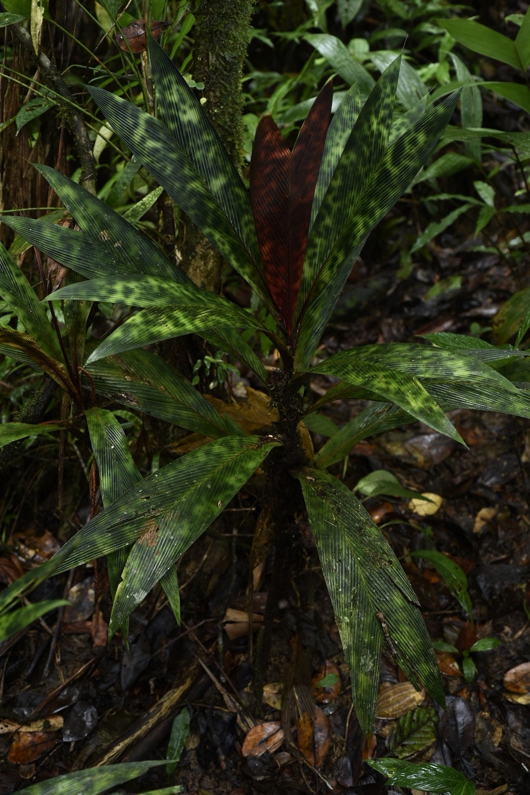 A vividly-marked example of the stained-glass palm,  Geonoma eptiolata , western Panamá (Image: F. Muller).