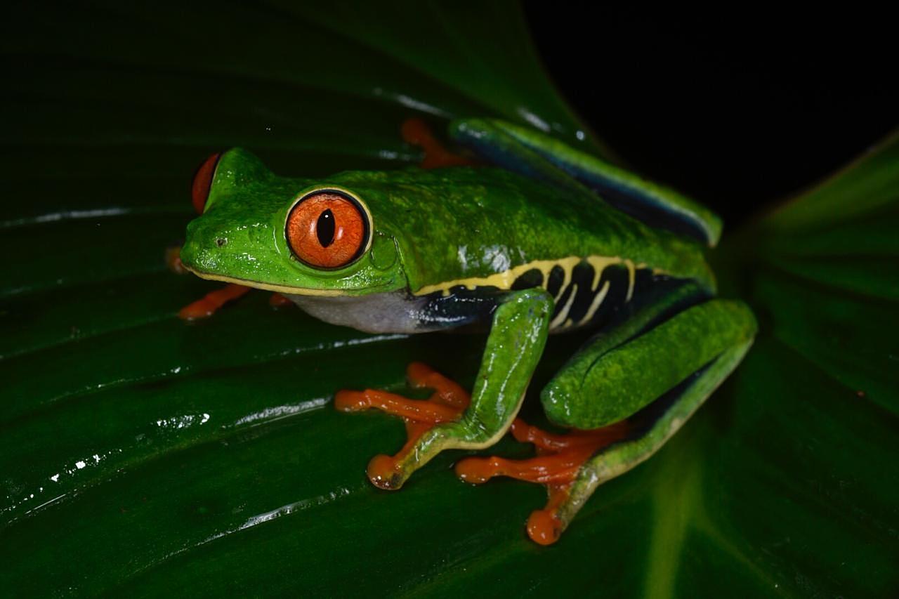 Red-eyed treefrog ( Agalychnis callidryas ), Limón Province, Costa Rica (Image: F. Muller).