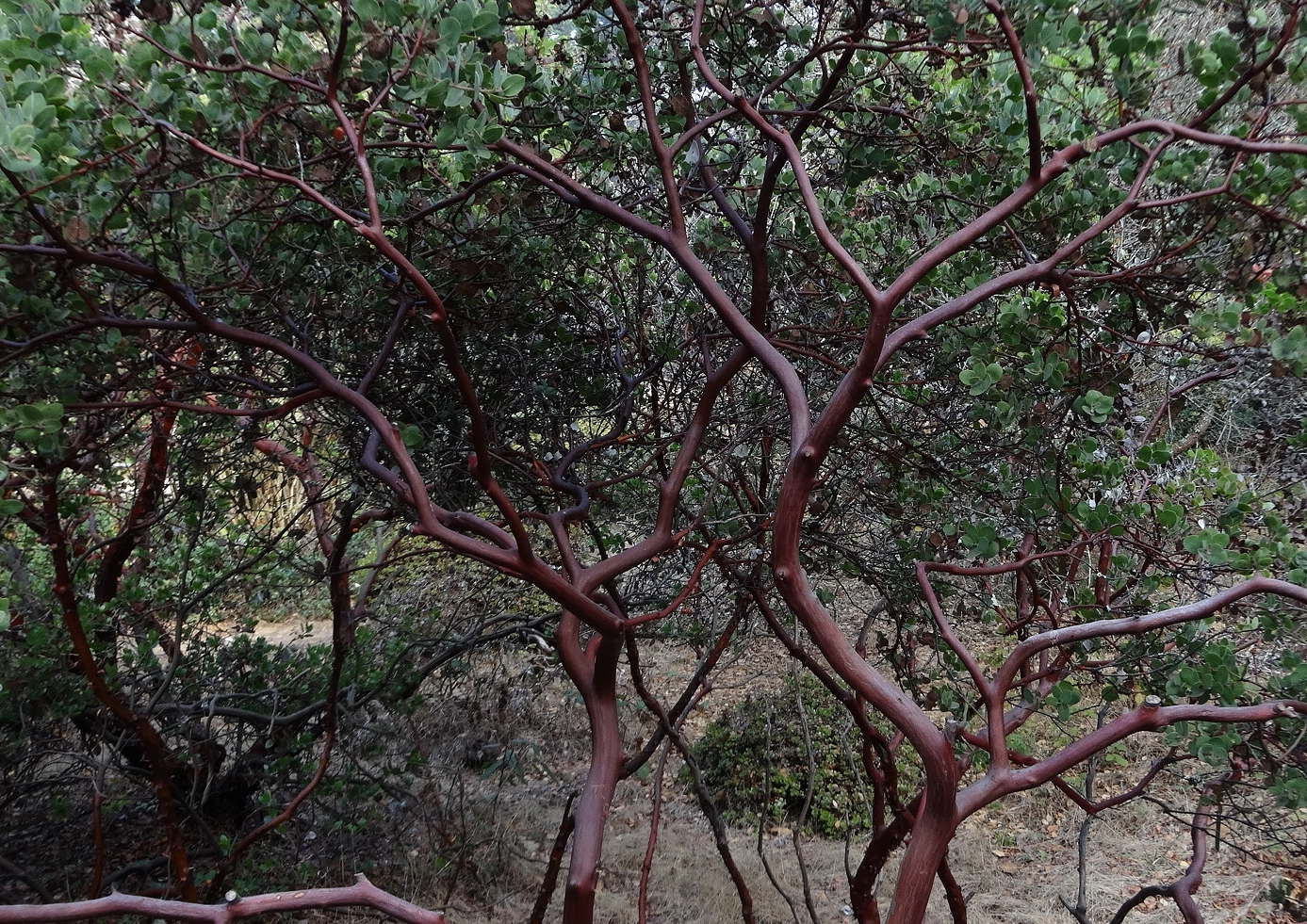 Manzanita ( Arctostaphylos sp. ) in fall, coastal northern California