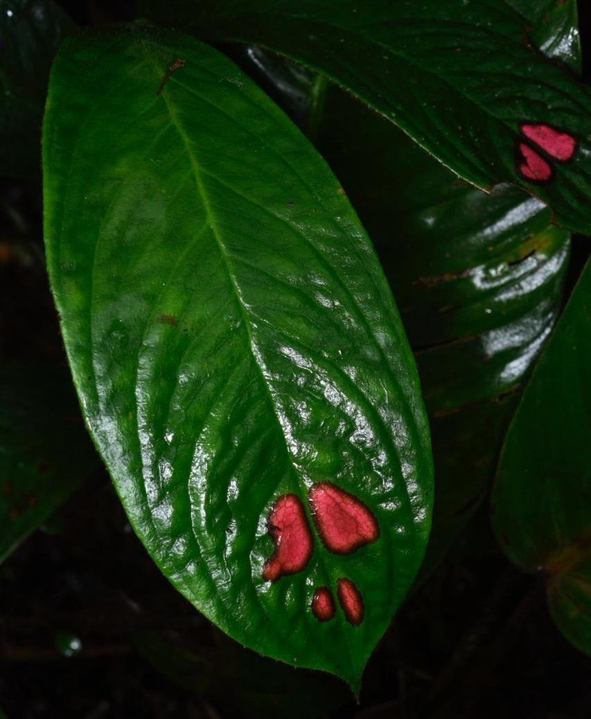 Columnea consanguinea leaf window.jpg