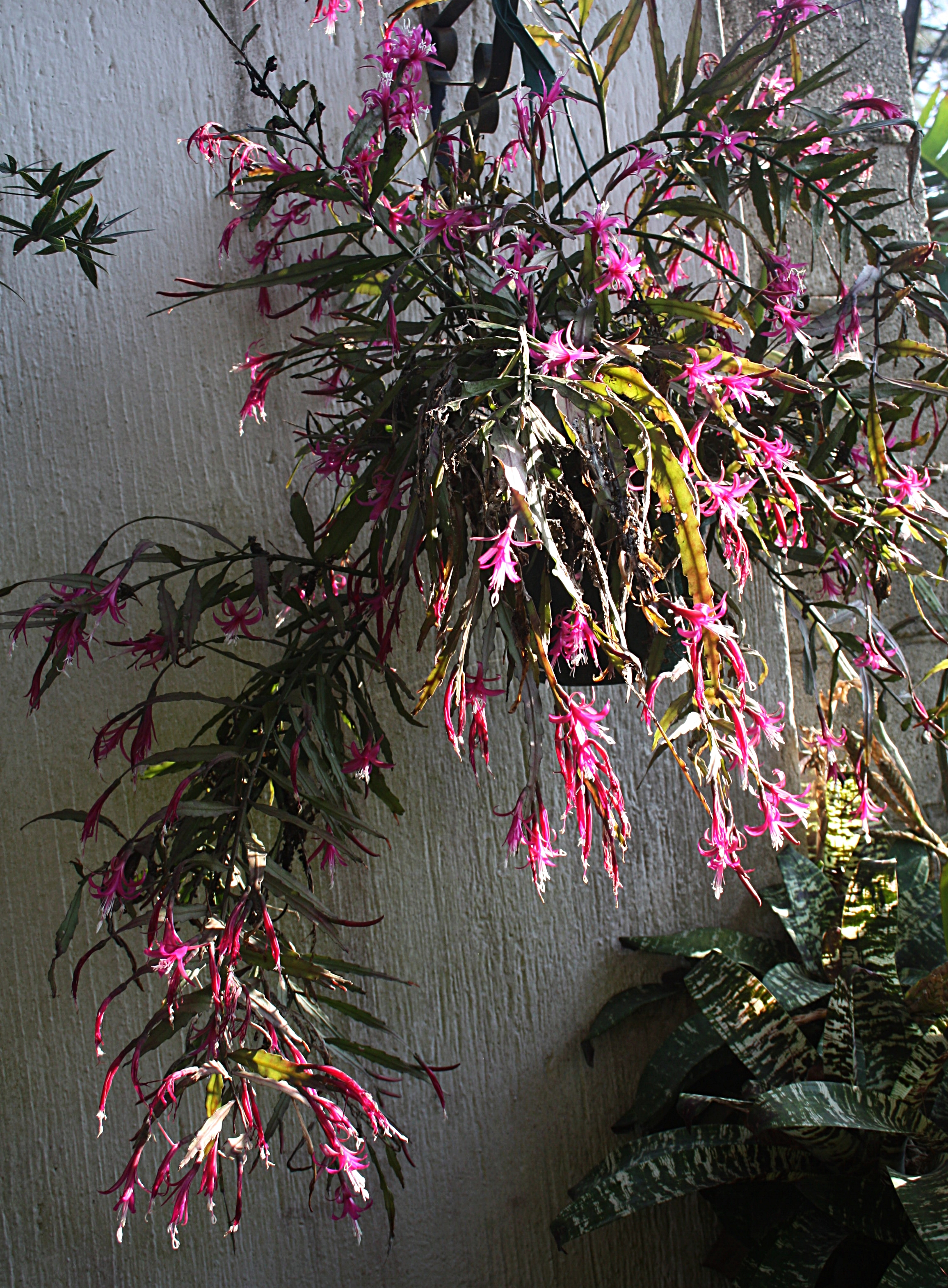 Well-flowered specimen of  Disocactus biformis  in my garden in Guatemala.