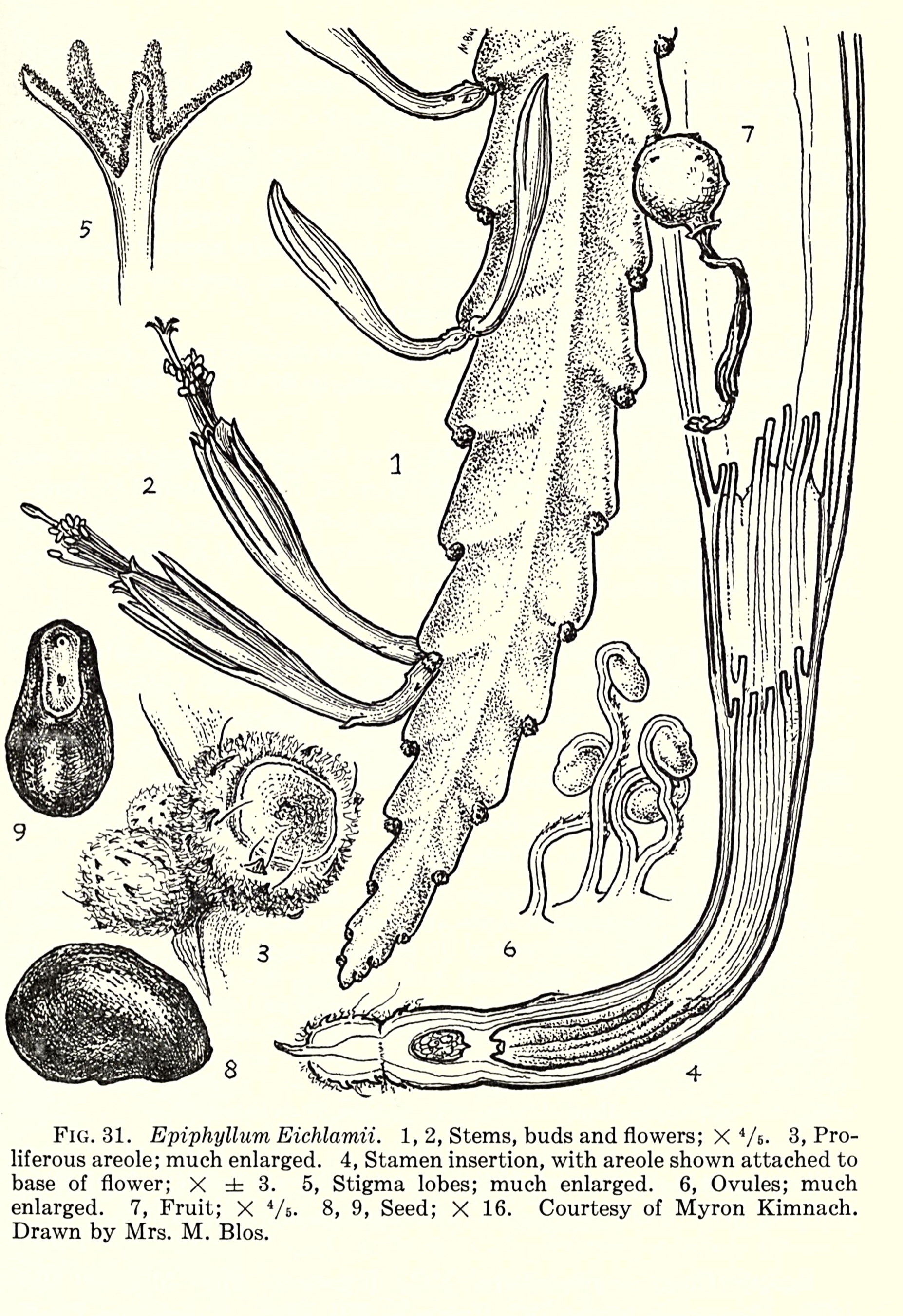 "Disocactus eichlamii  illustration in the ""Flora of Guatemala"", Part VII, 1962 (Chicago Natural History Museum)."