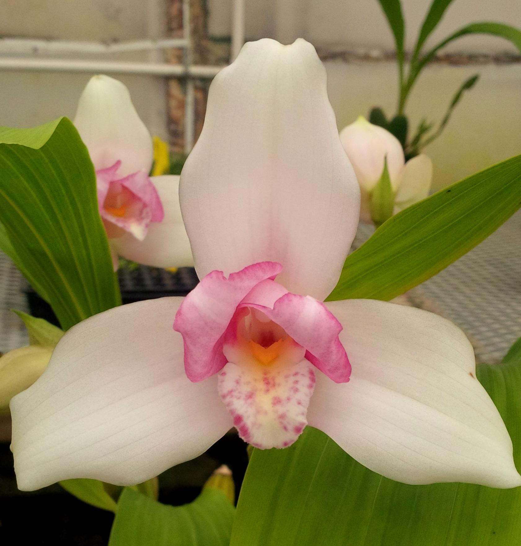 Lycaste virginalis f. delicatissima ex-Japan.jpg