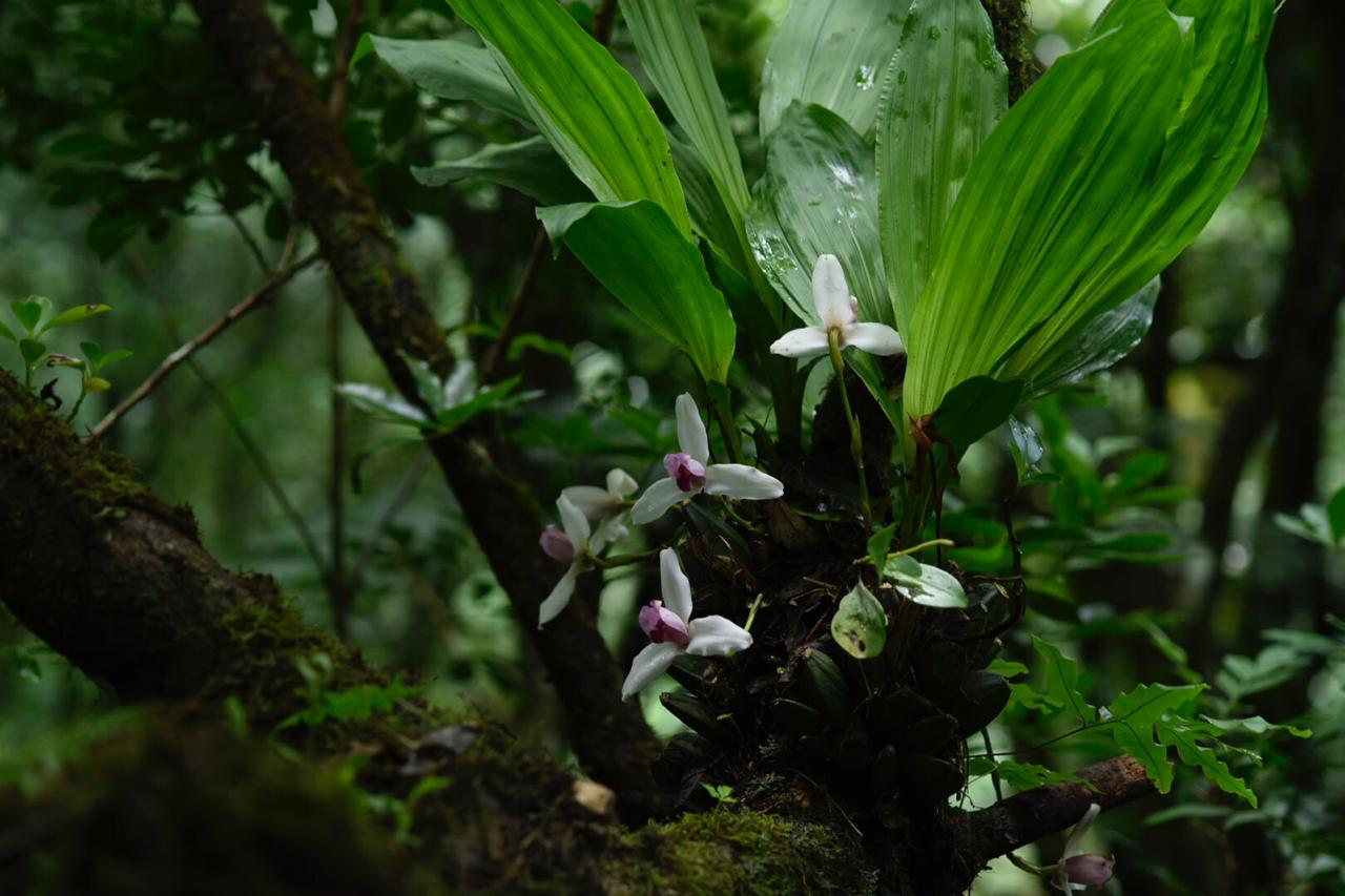 Typical flower form of  Lycaste guatemalensis  flowering in nature, Volcán Ipala, Guatemala (Image: F. Muller).