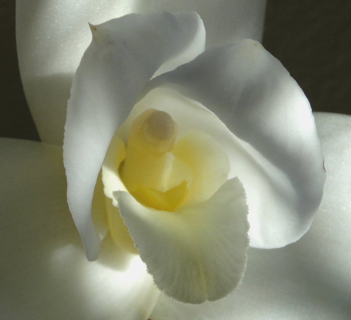 The white nun of  Lycaste virginalis f. alba . Author's collection.