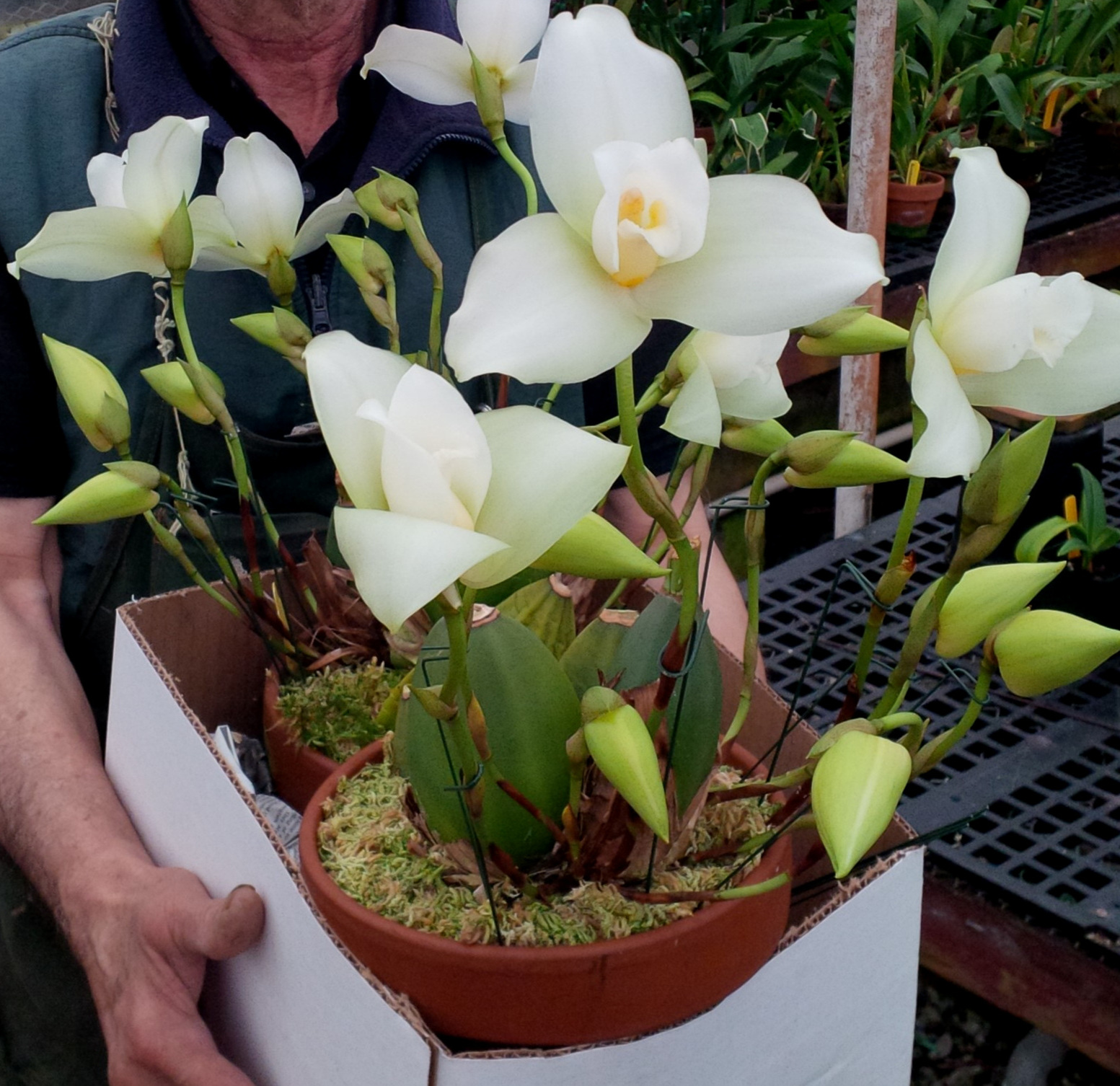 A pair of very beautifully-flowered  Lycaste  Highland Peak 'Cooksbridge'. Grower, Golden Gate Orchids.