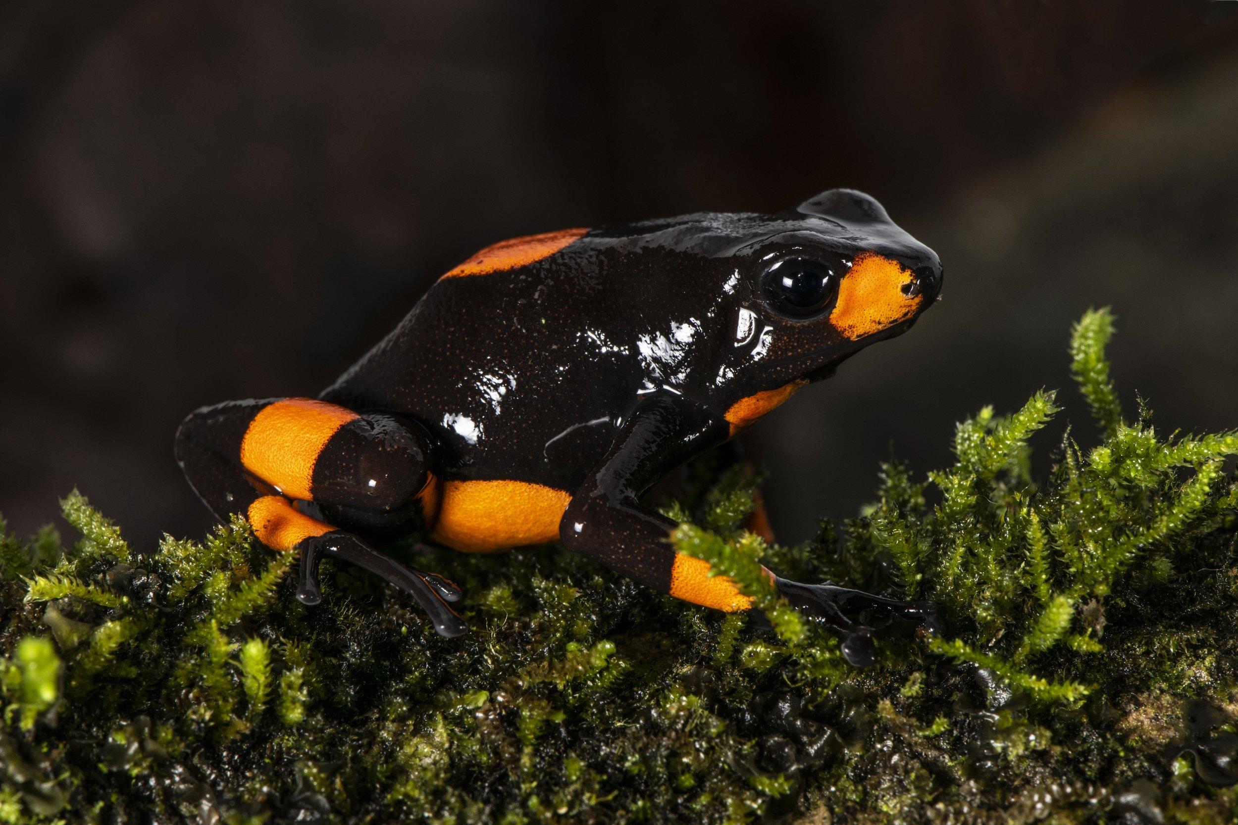 """Oophaga histrionica  """"Orange Saddle"""" form (Image: P. Rockstroh)."""