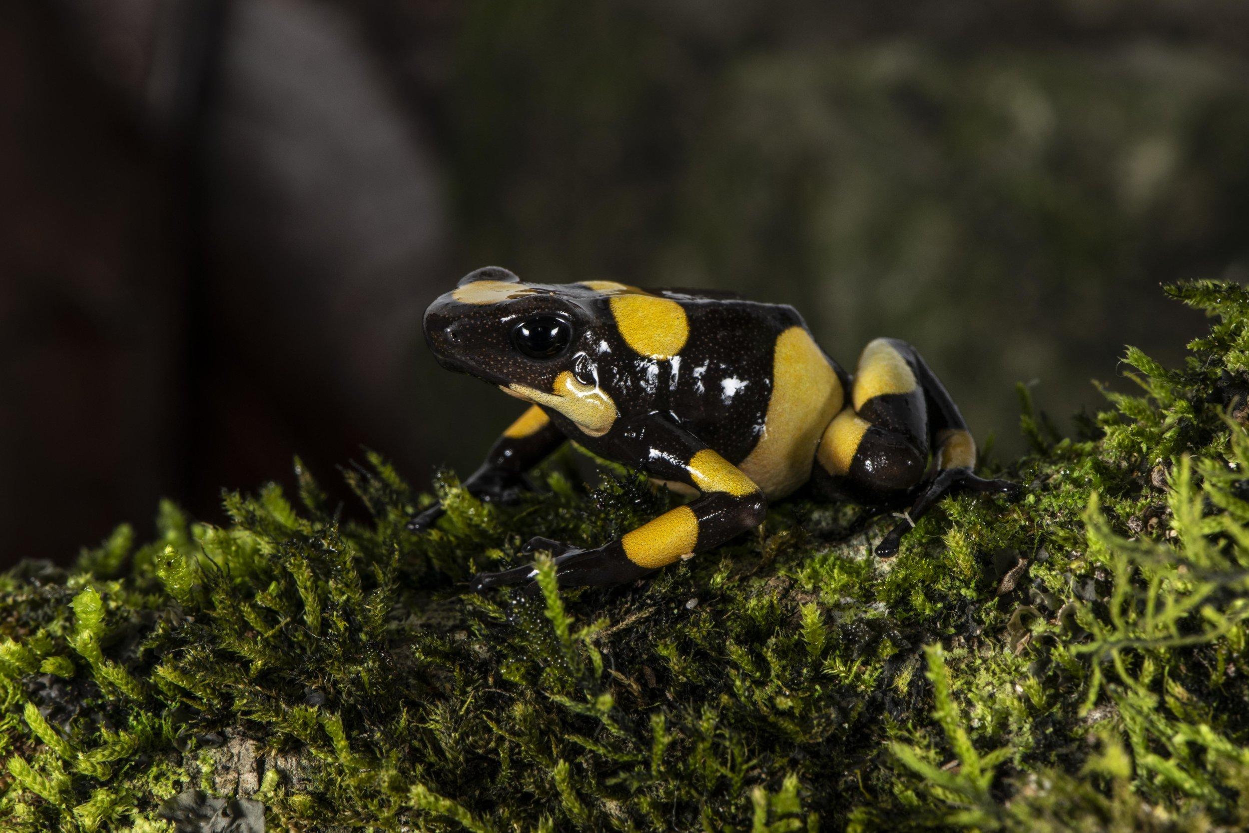 "Oophaga histrionica  ""Yellow Saddle"" form (Image: P. Rockstroh)."