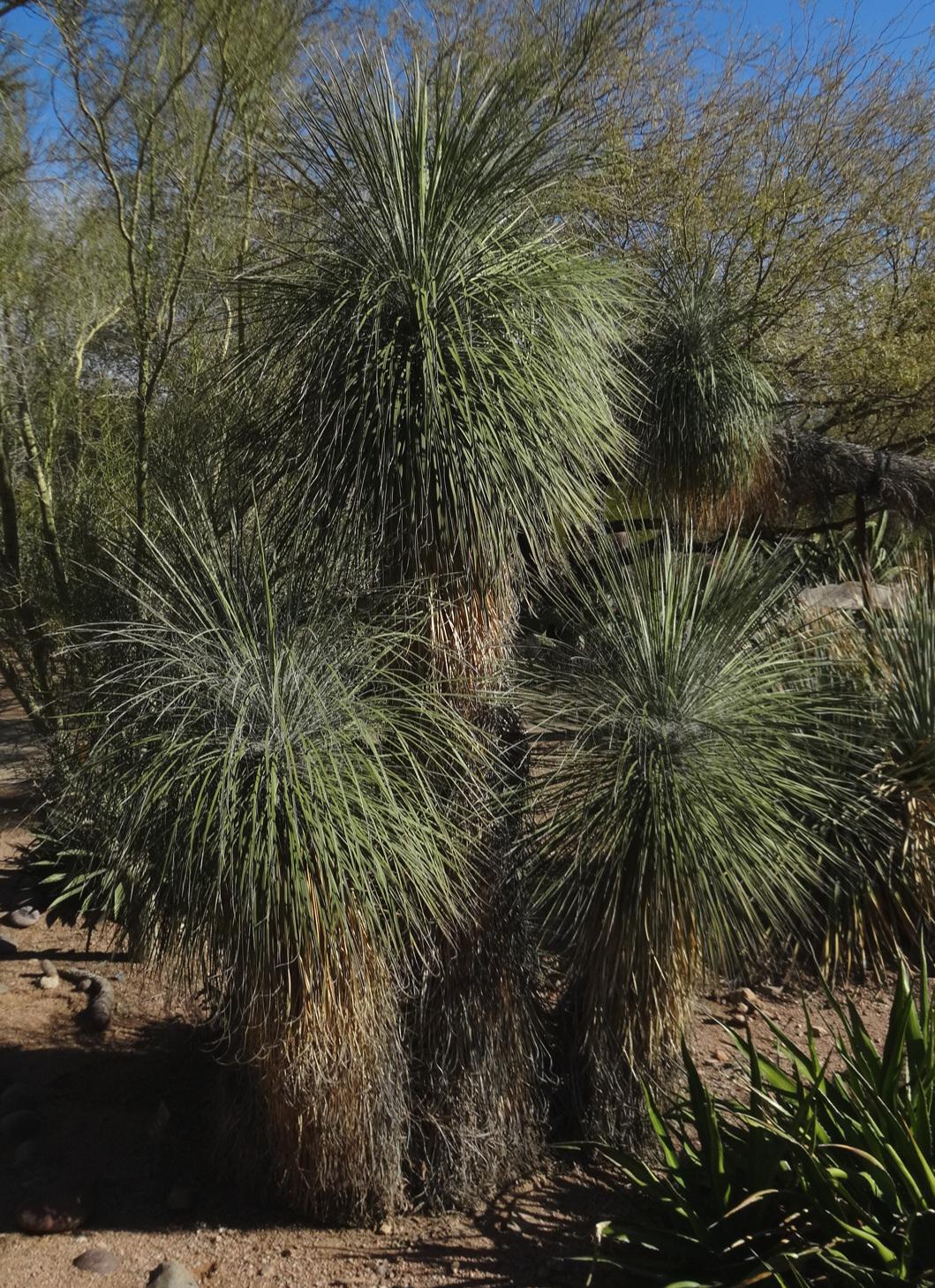 The filiferous  Yucca elata  in the landscape, Desert Botanical Garden, Phoenix, Arizona.