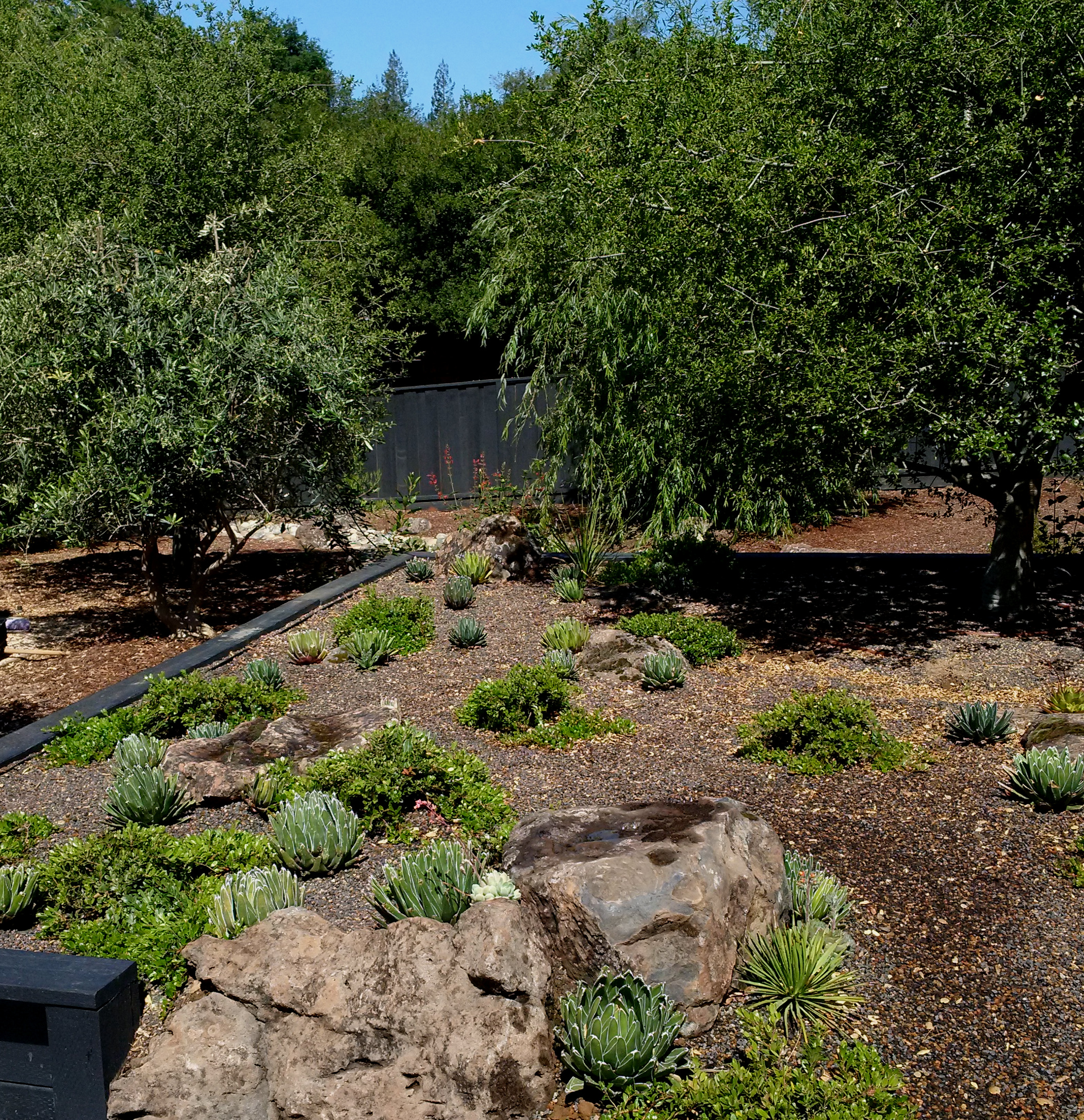 Agave victoriae reginae mass plant.jpg
