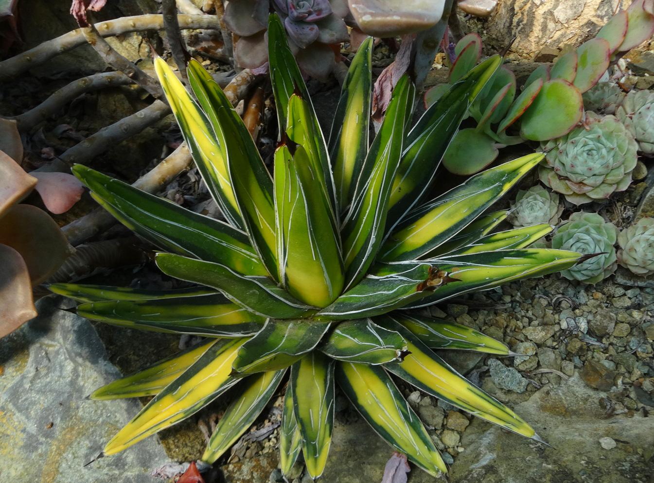 Agave victoriae-reginae f. medio-picta aurea , Ruth Bancroft Garden, Walnut Creek, California.